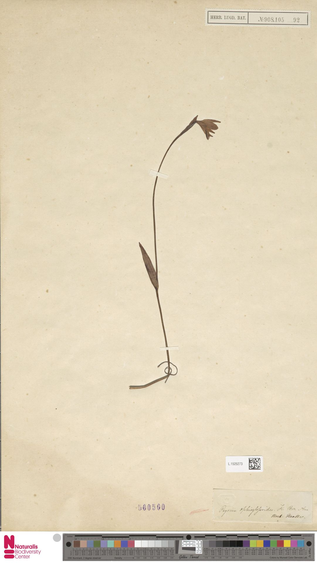 L.1525273 | Pogonia ophioglossoides Nutt.