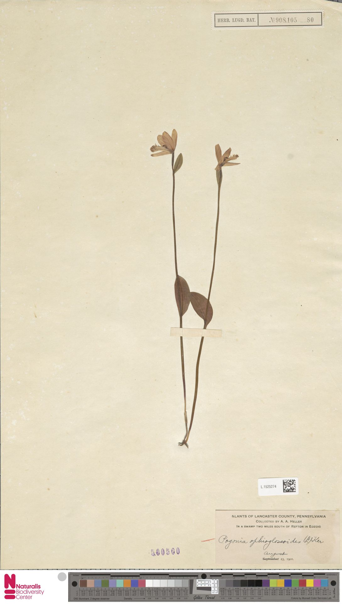 L.1525274 | Pogonia ophioglossoides Nutt.