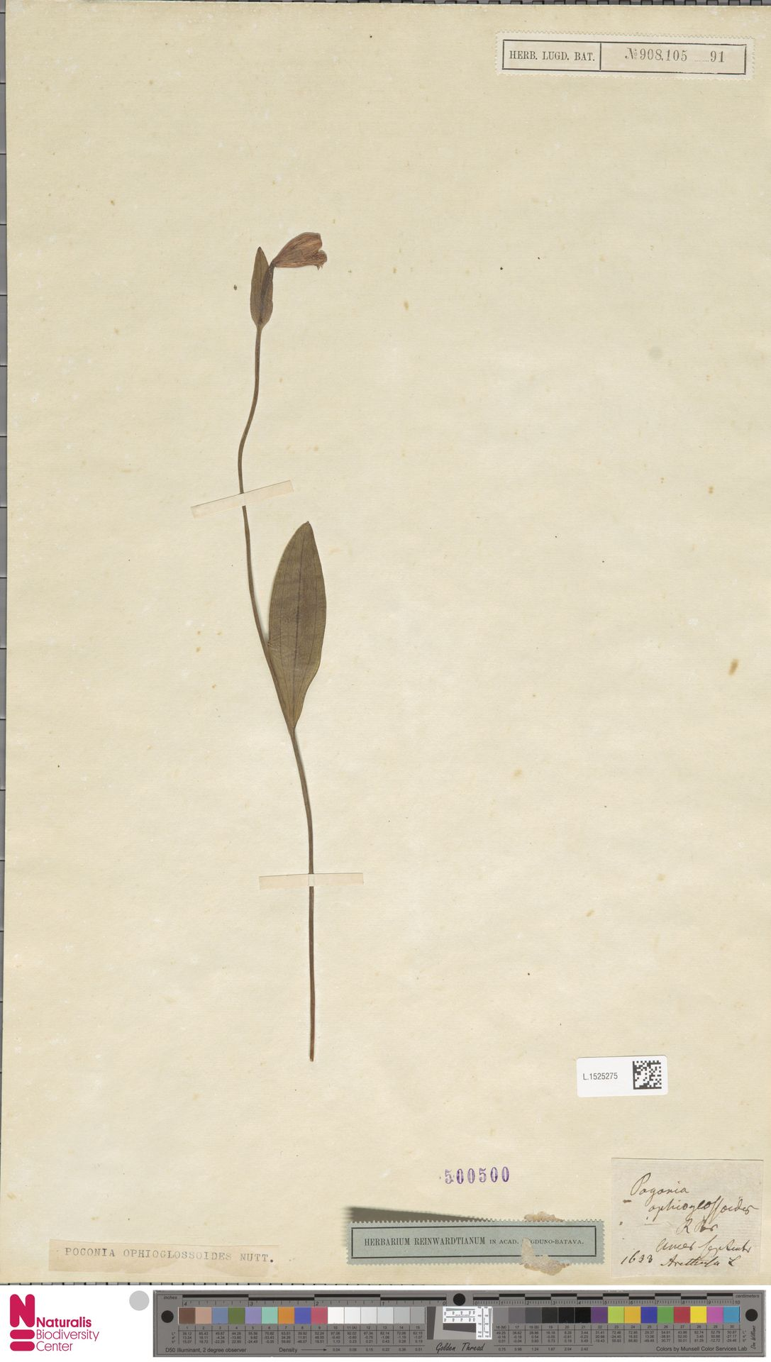 L.1525275 | Pogonia ophioglossoides Nutt.