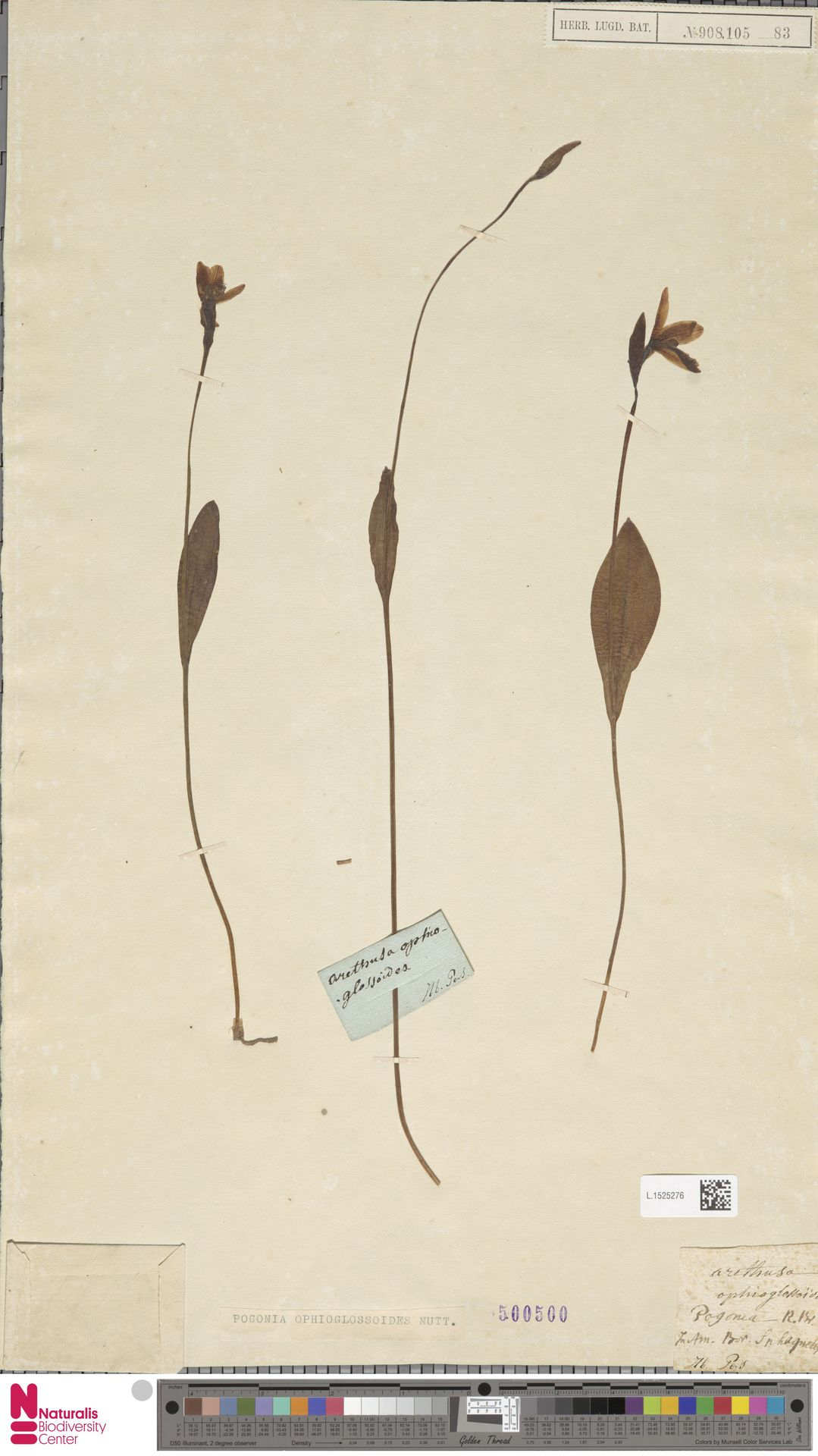 L.1525276 | Pogonia ophioglossoides Nutt.