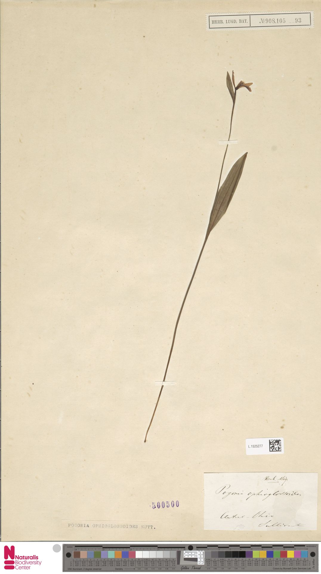 L.1525277 | Pogonia ophioglossoides Nutt.