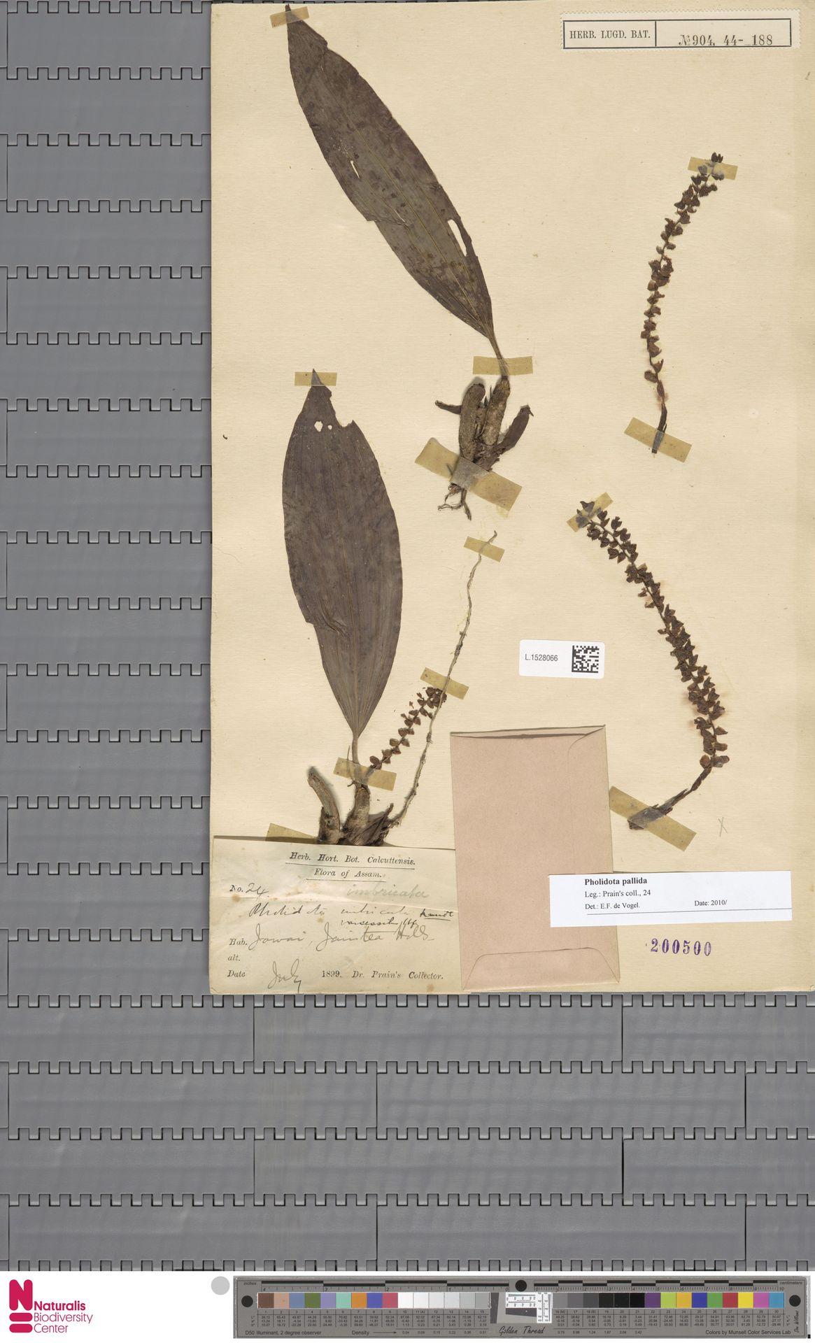 L.1528066 | Pholidota pallida Lindl.