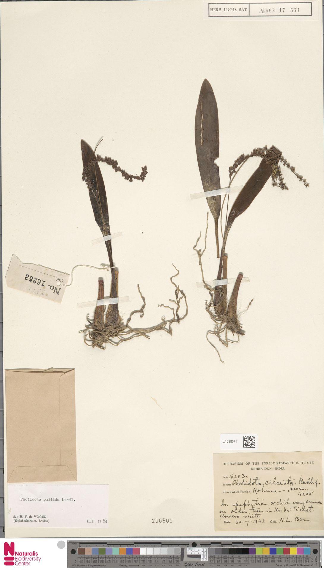 L.1528071 | Pholidota pallida Lindl.