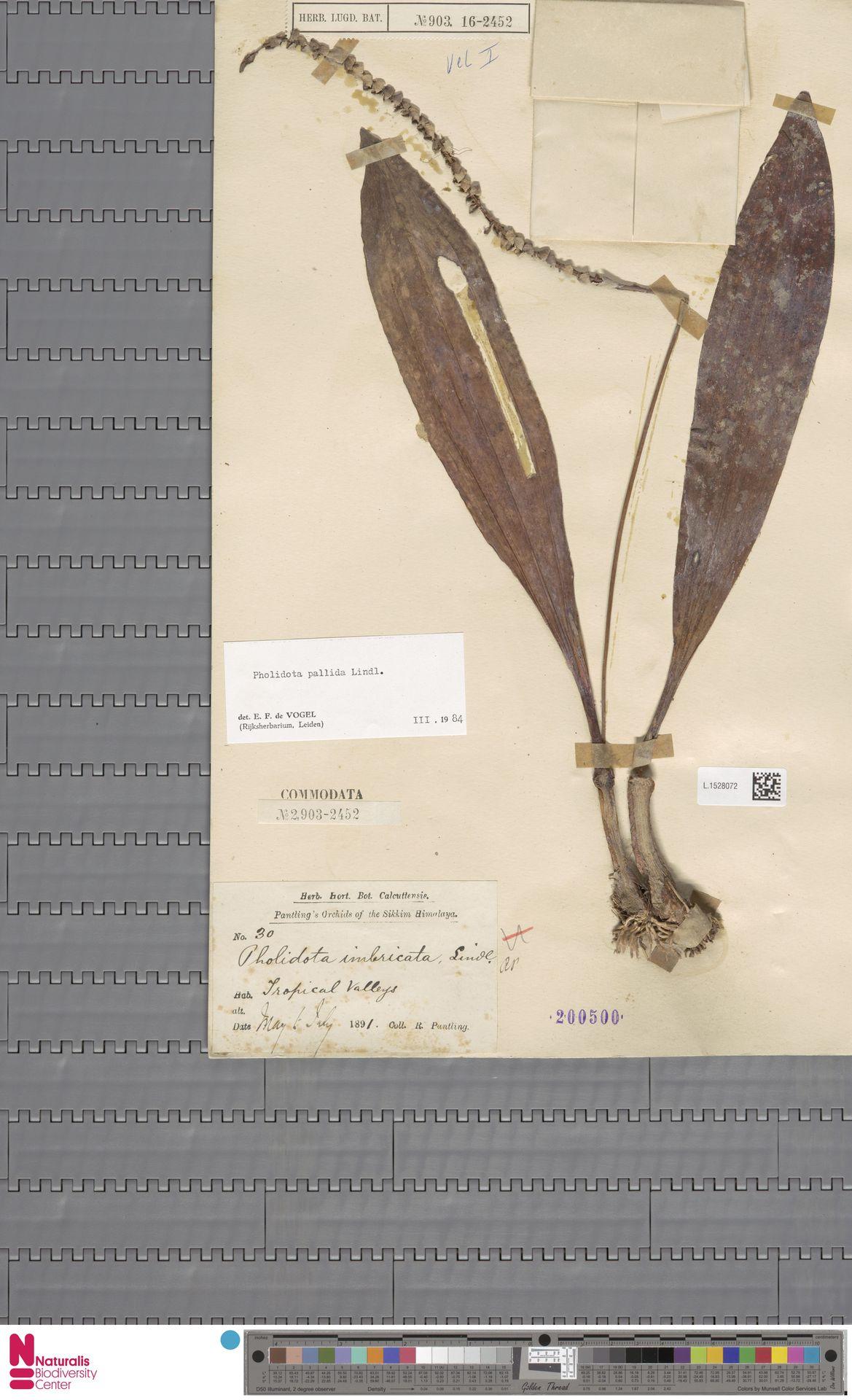 L.1528072 | Pholidota pallida Lindl.