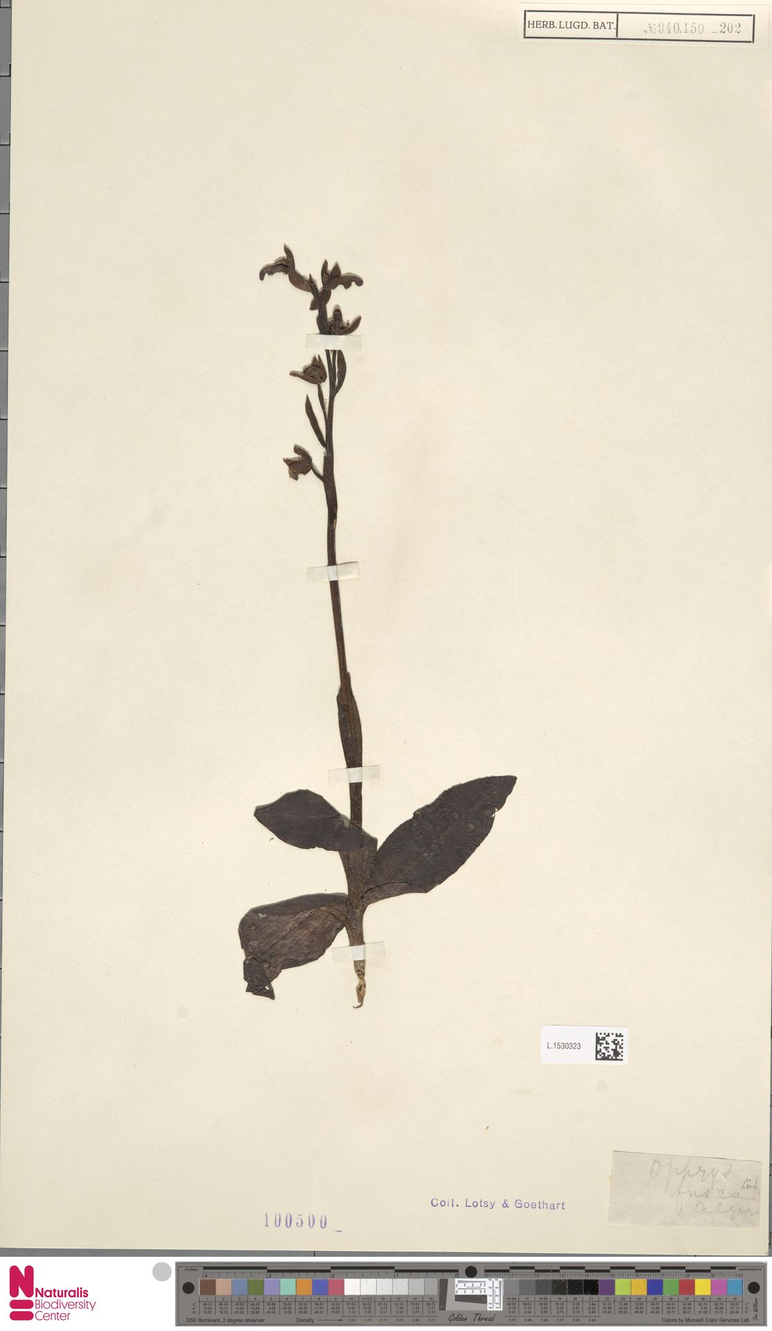 L.1530323 | Ophrys fusca Link