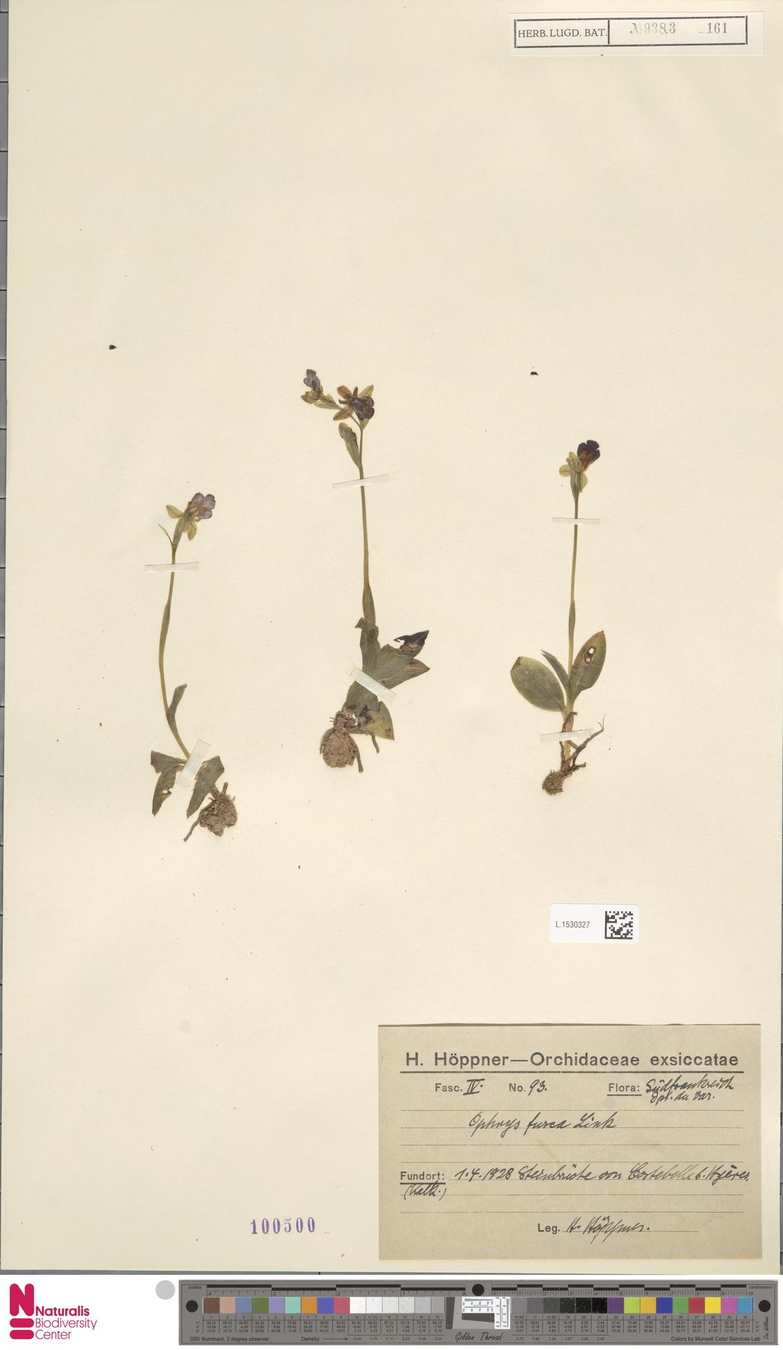L.1530327   Ophrys fusca Link