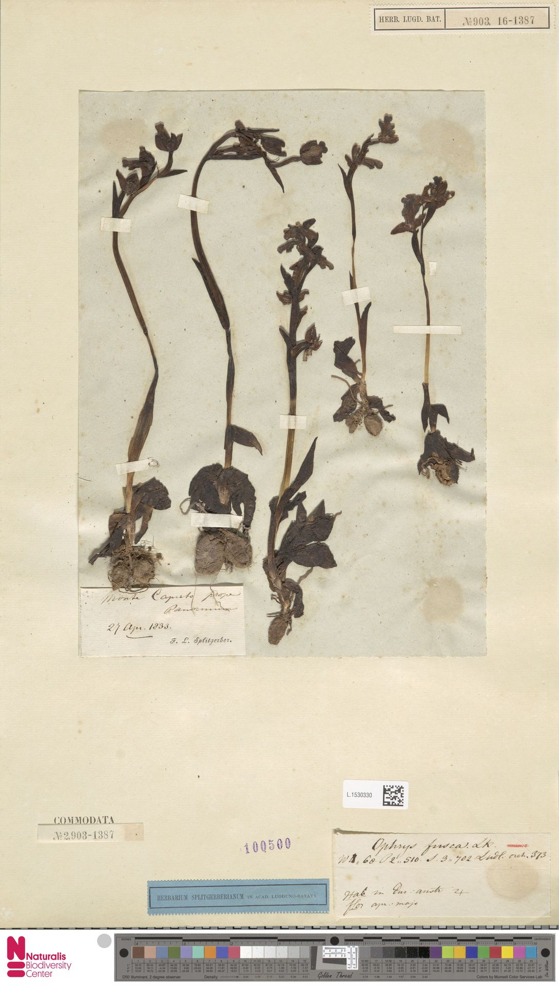 L.1530330 | Ophrys fusca Link