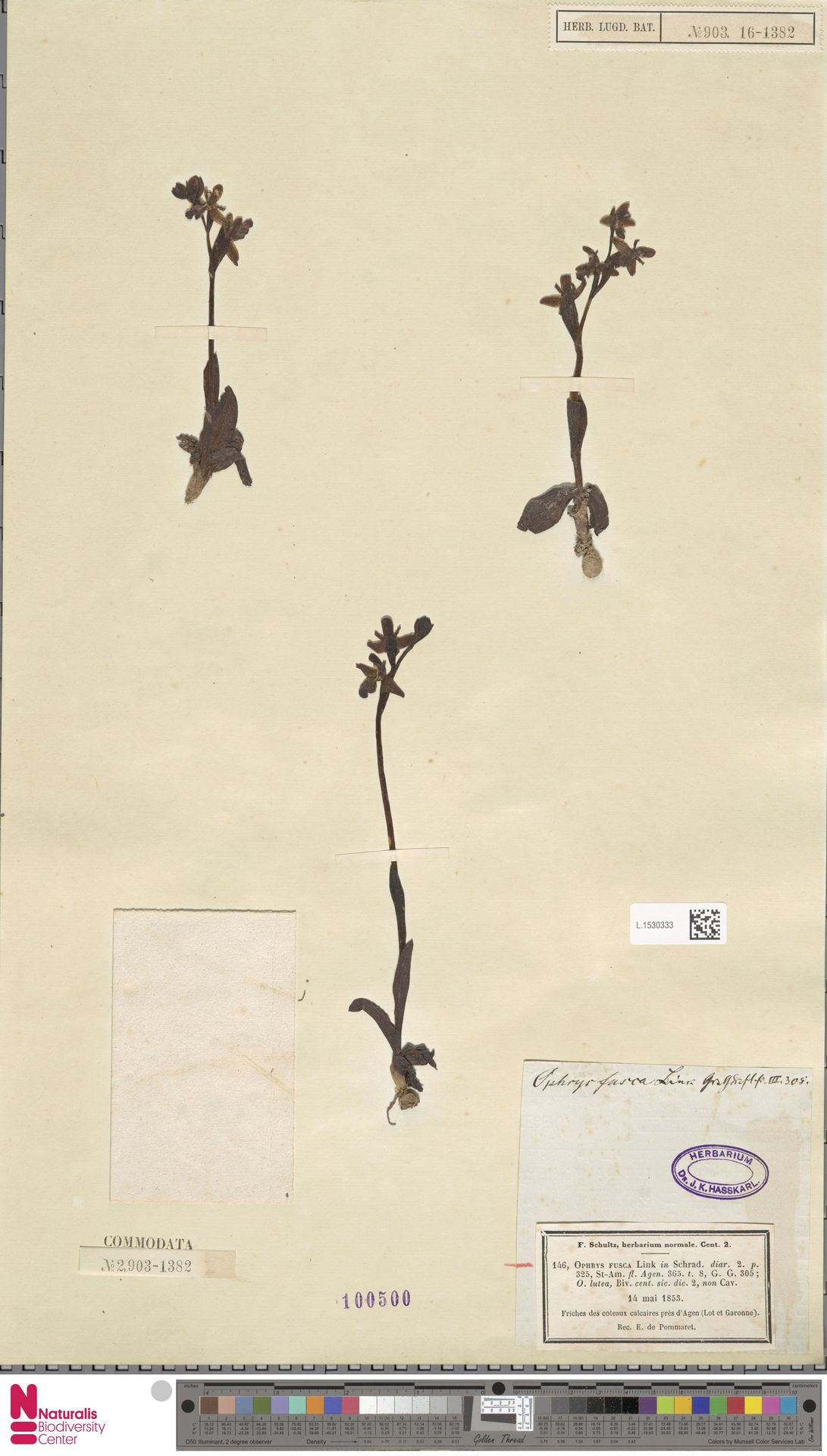 L.1530333 | Ophrys fusca Link