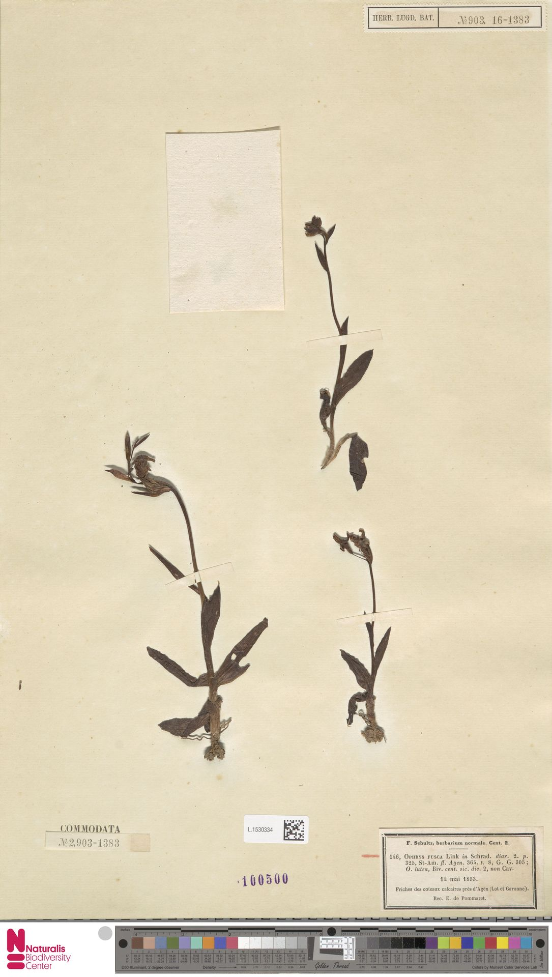 L.1530334 | Ophrys fusca Link