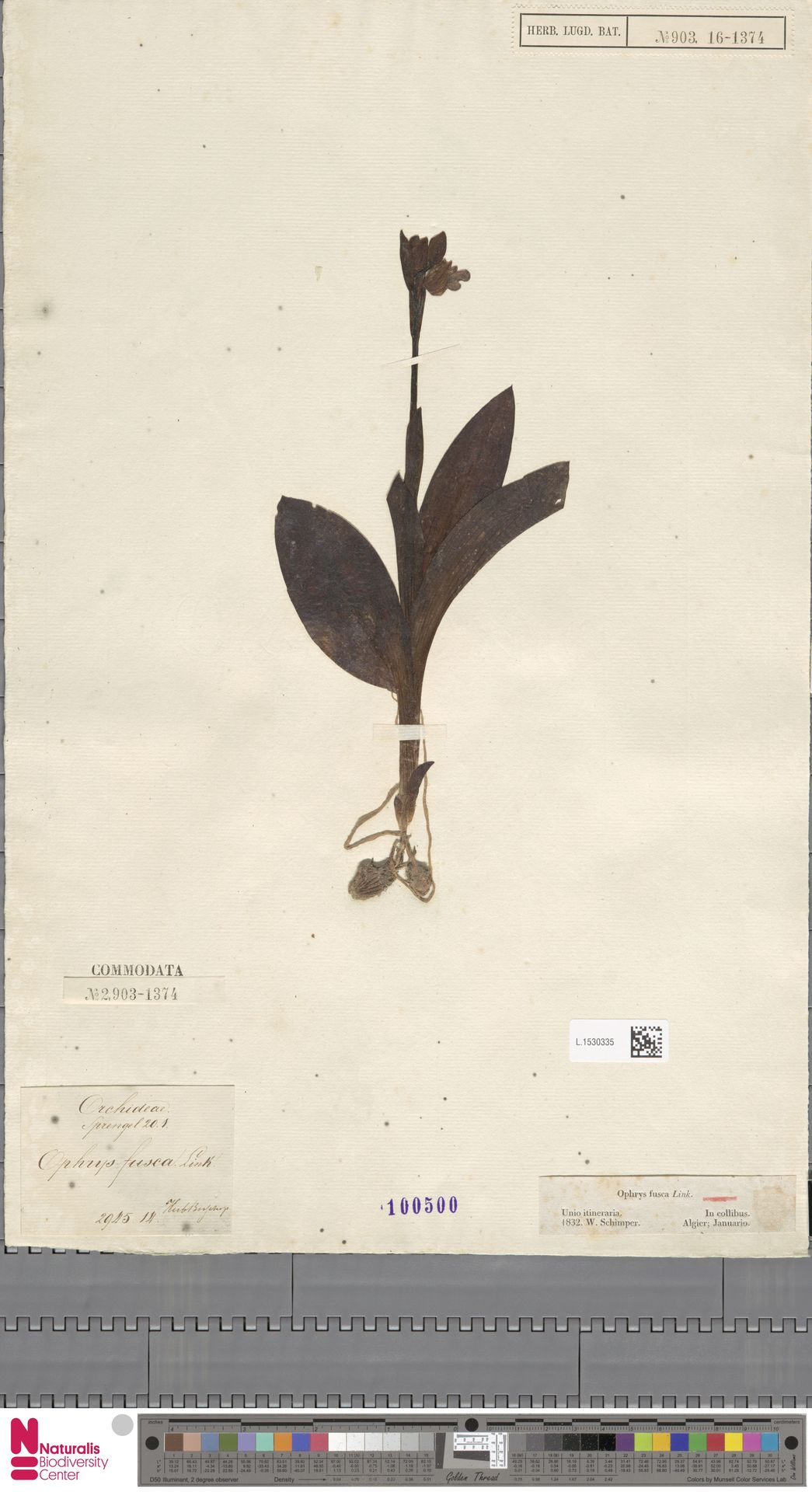 L.1530335 | Ophrys fusca Link