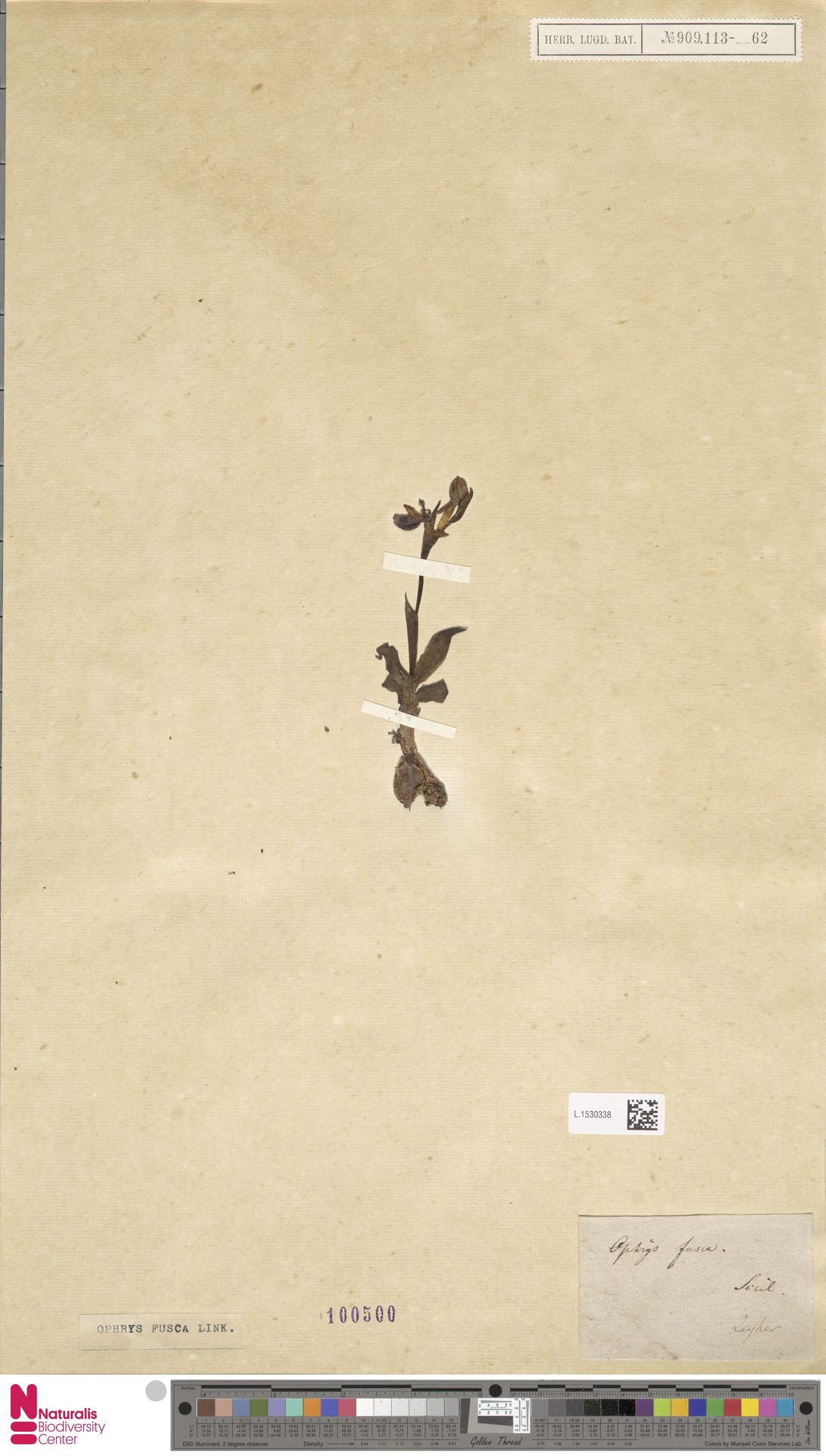 L.1530338 | Ophrys fusca Link