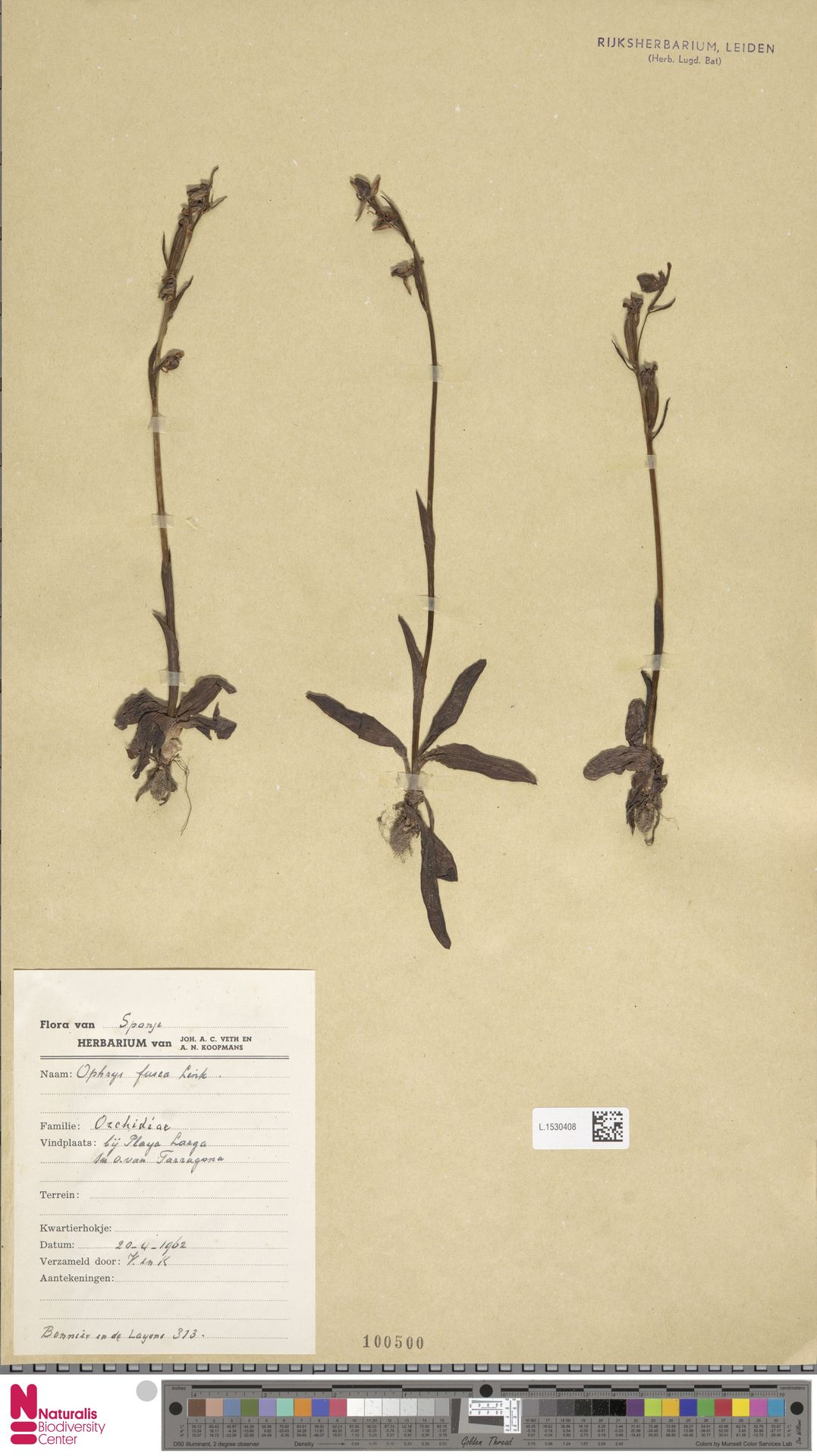 L.1530408 | Ophrys fusca Link
