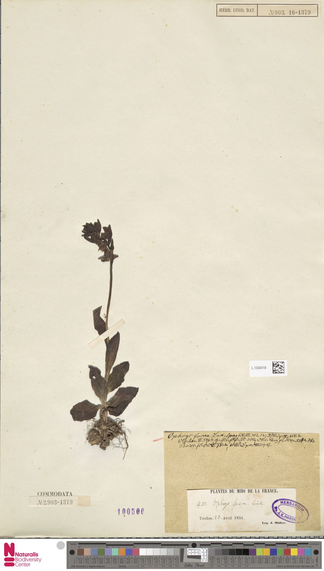 L.1530418   Ophrys fusca Link