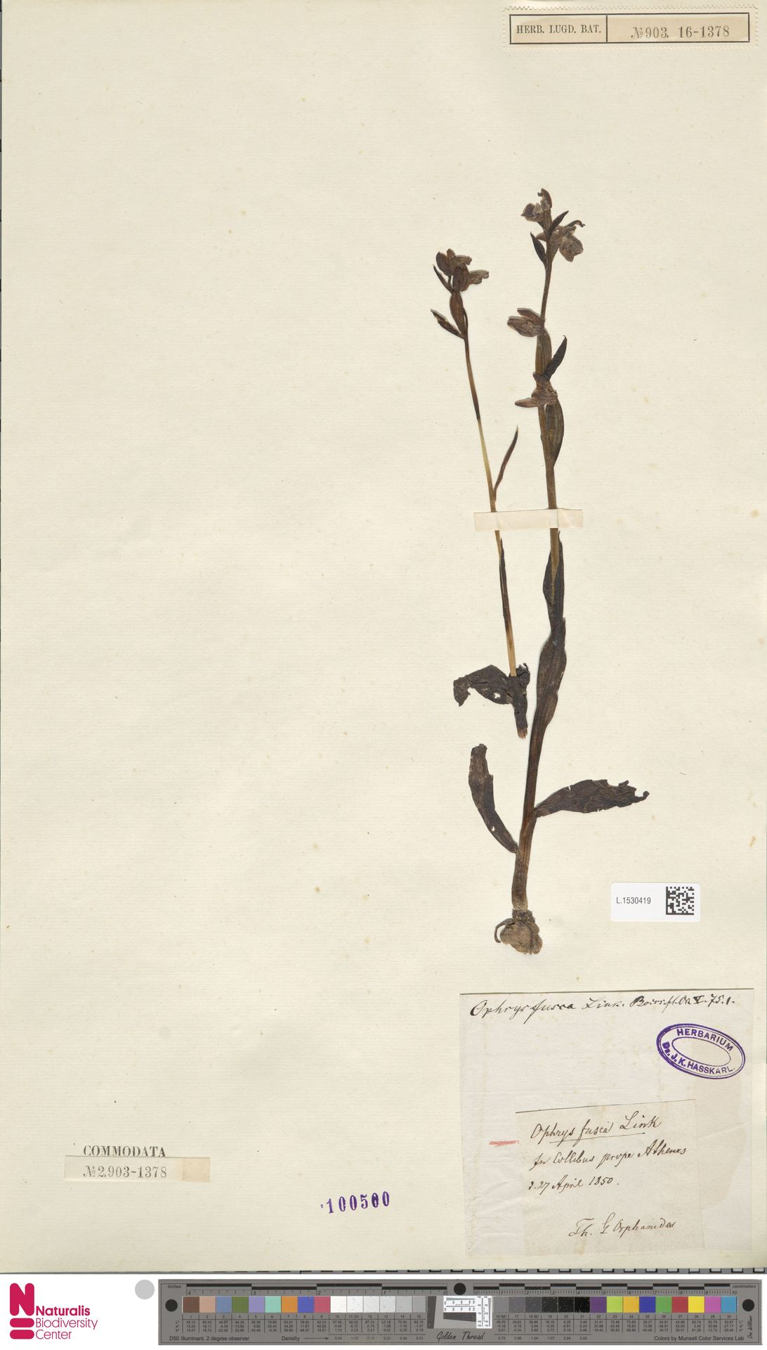 L.1530419 | Ophrys fusca Link