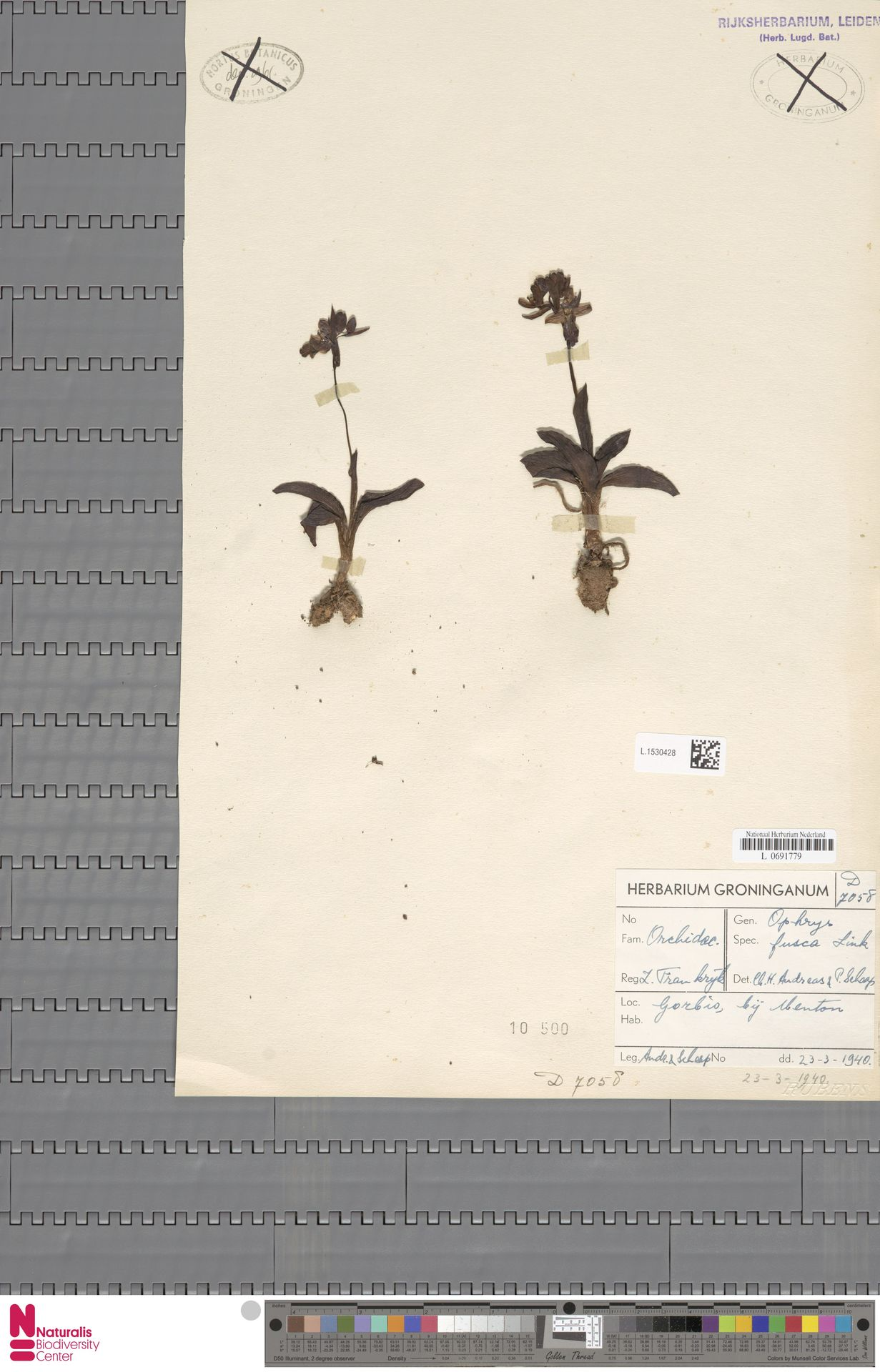 L.1530428 | Ophrys fusca Link
