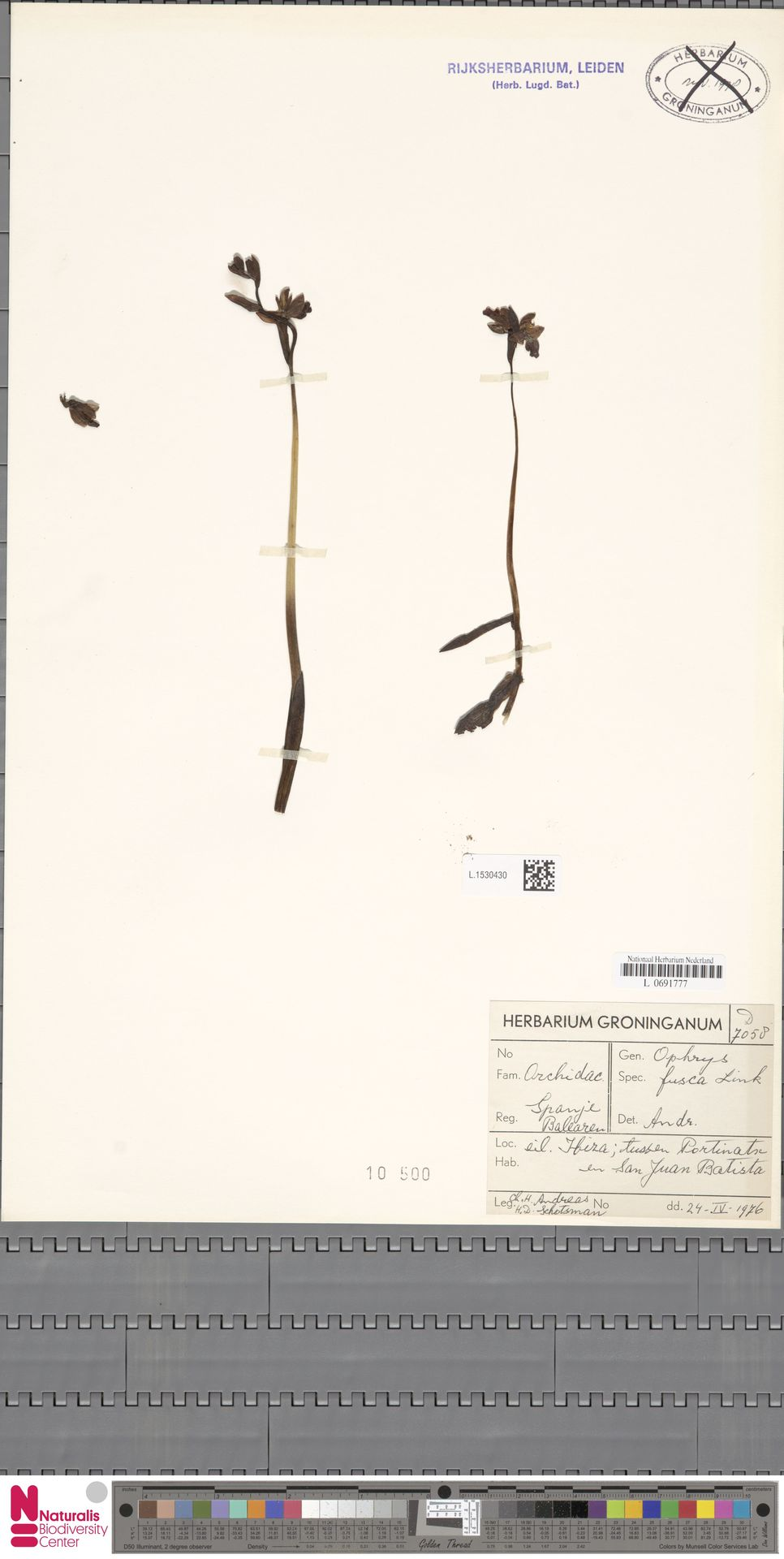 L.1530430   Ophrys fusca Link