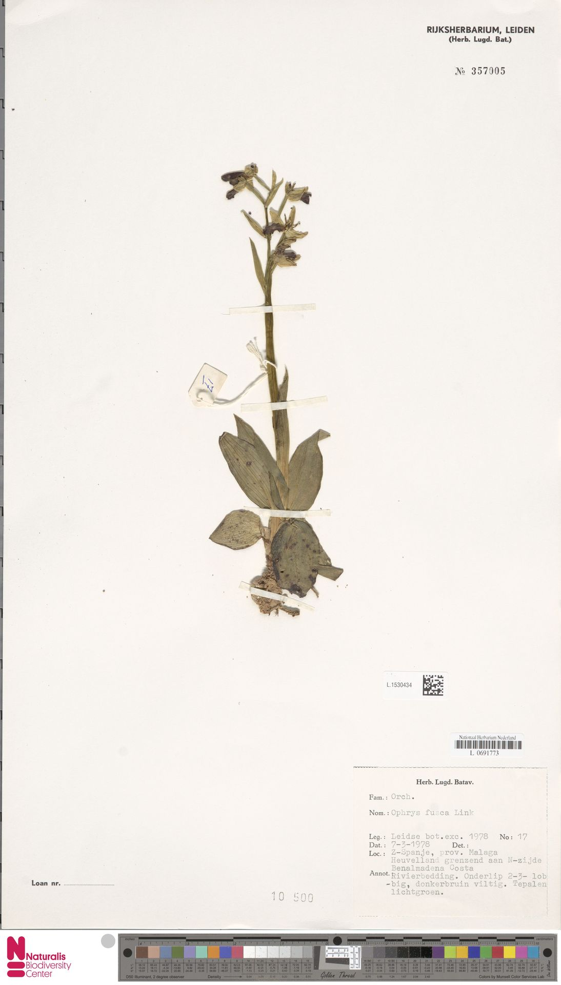 L.1530434 | Ophrys fusca Link