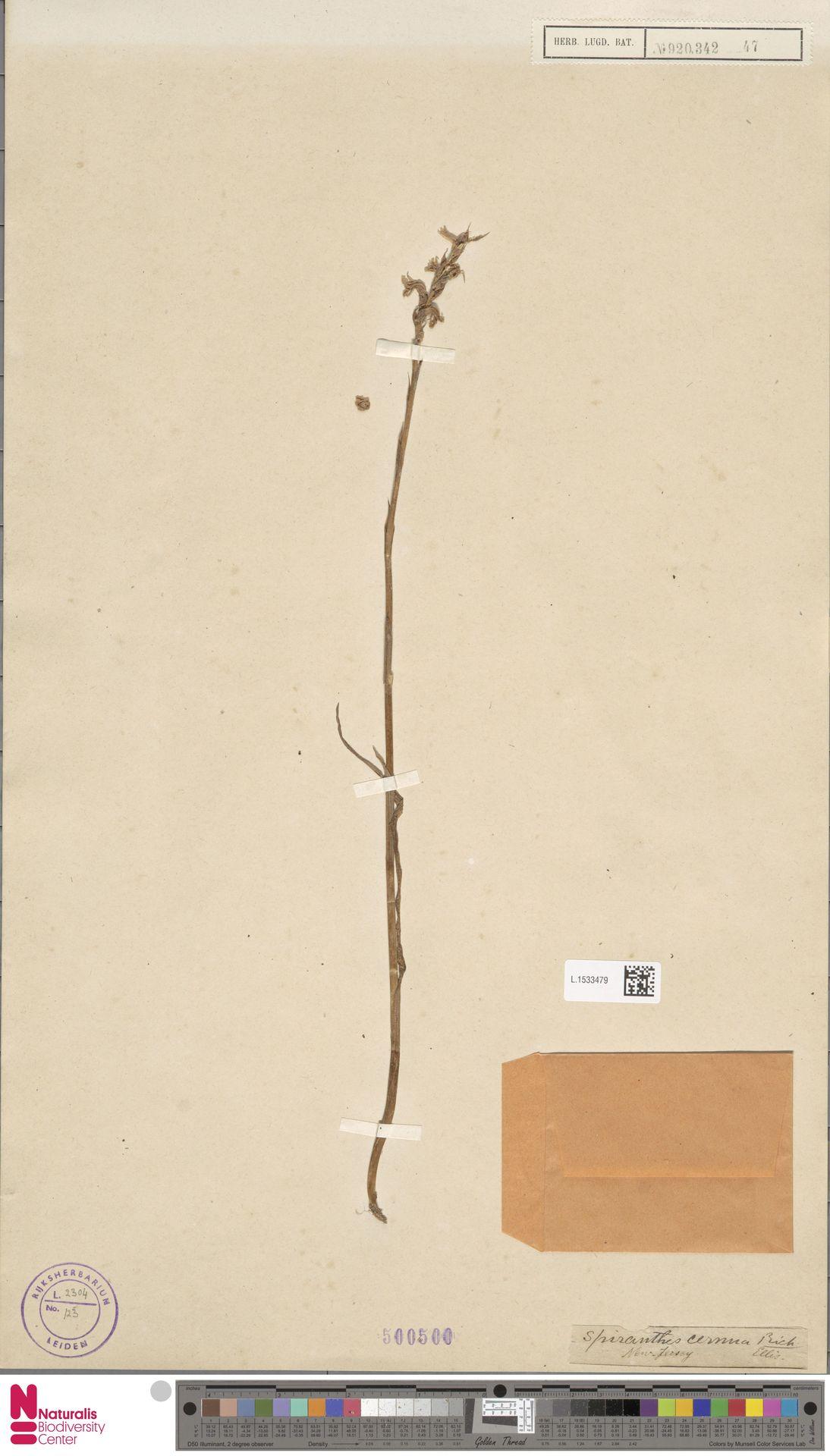 L.1533479 | Spiranthes cernua L.
