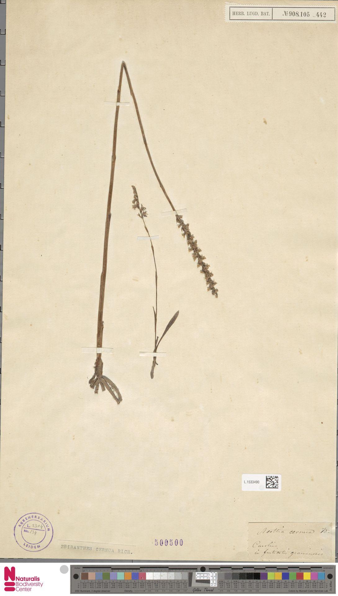 L.1533490 | Spiranthes cernua L.