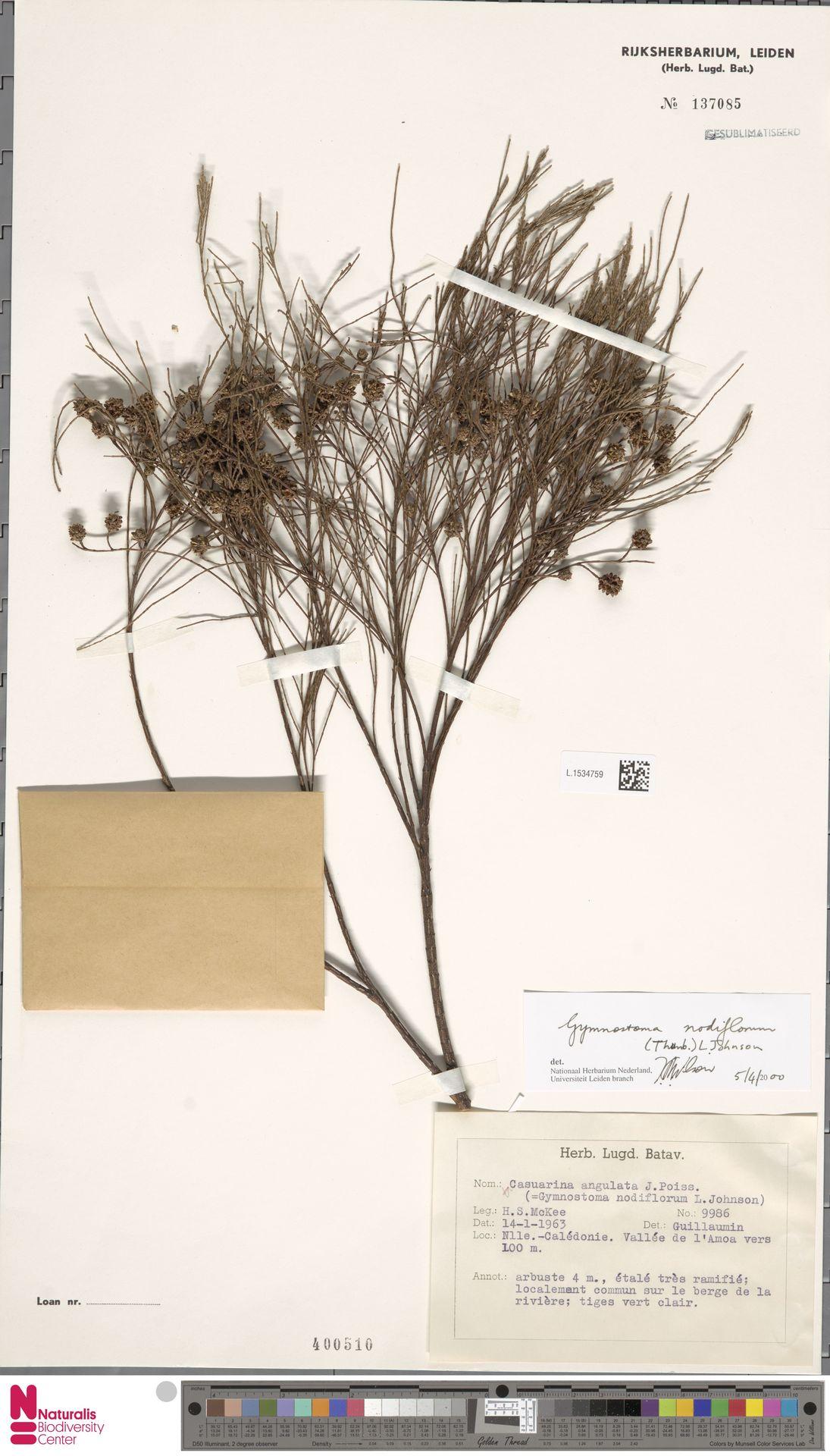 L.1534759 | Gymnostoma nodiflorum (Thunb.) L.A.S.Johnson