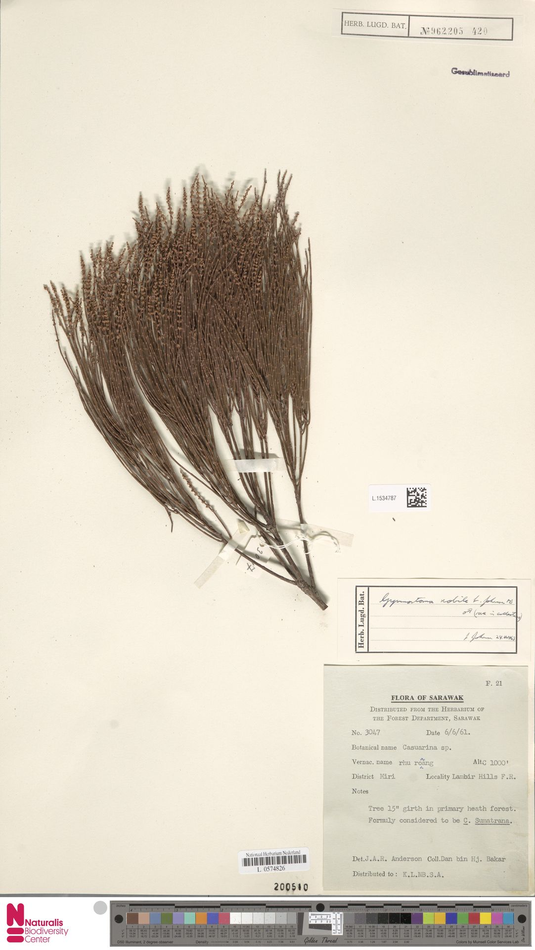 L.1534787 | Gymnostoma nobile (Whitmore) L.A.S.Johnson