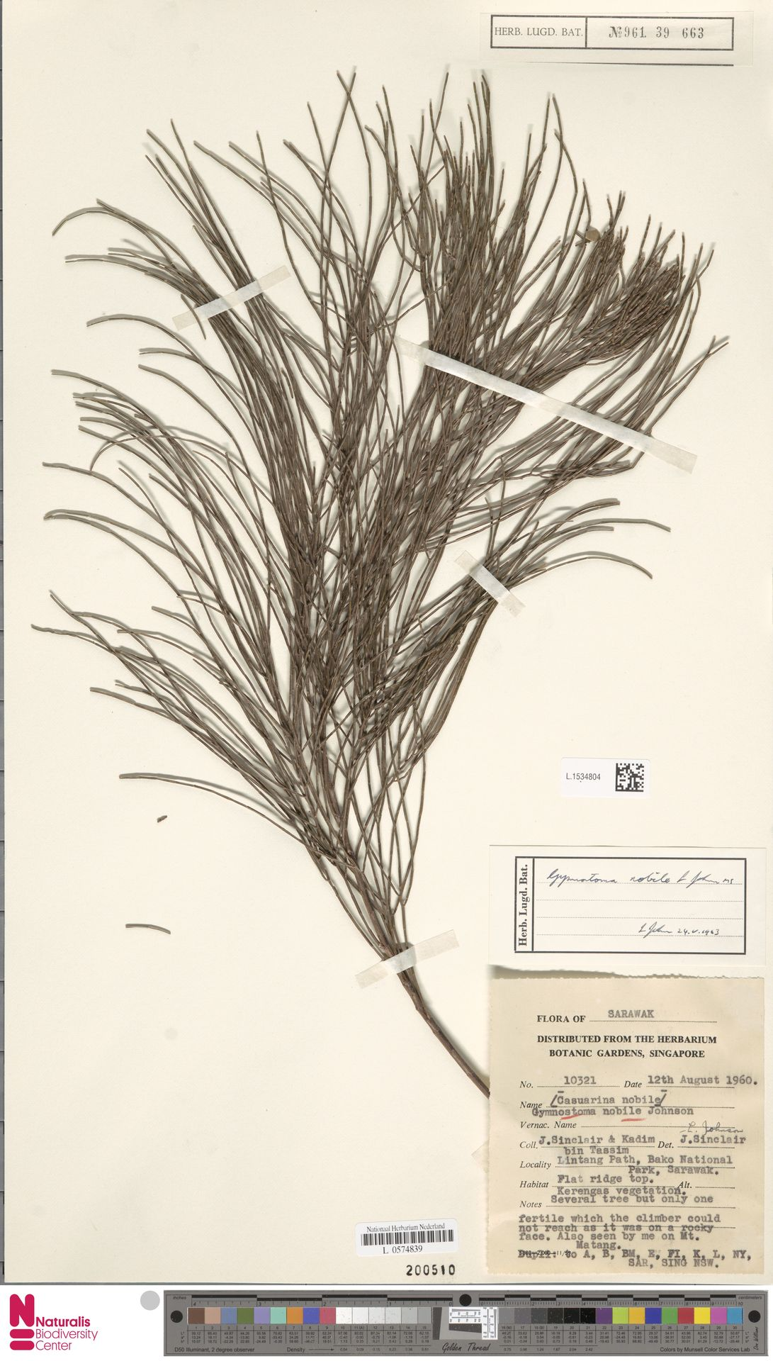 L.1534804 | Gymnostoma nobile (Whitmore) L.A.S.Johnson