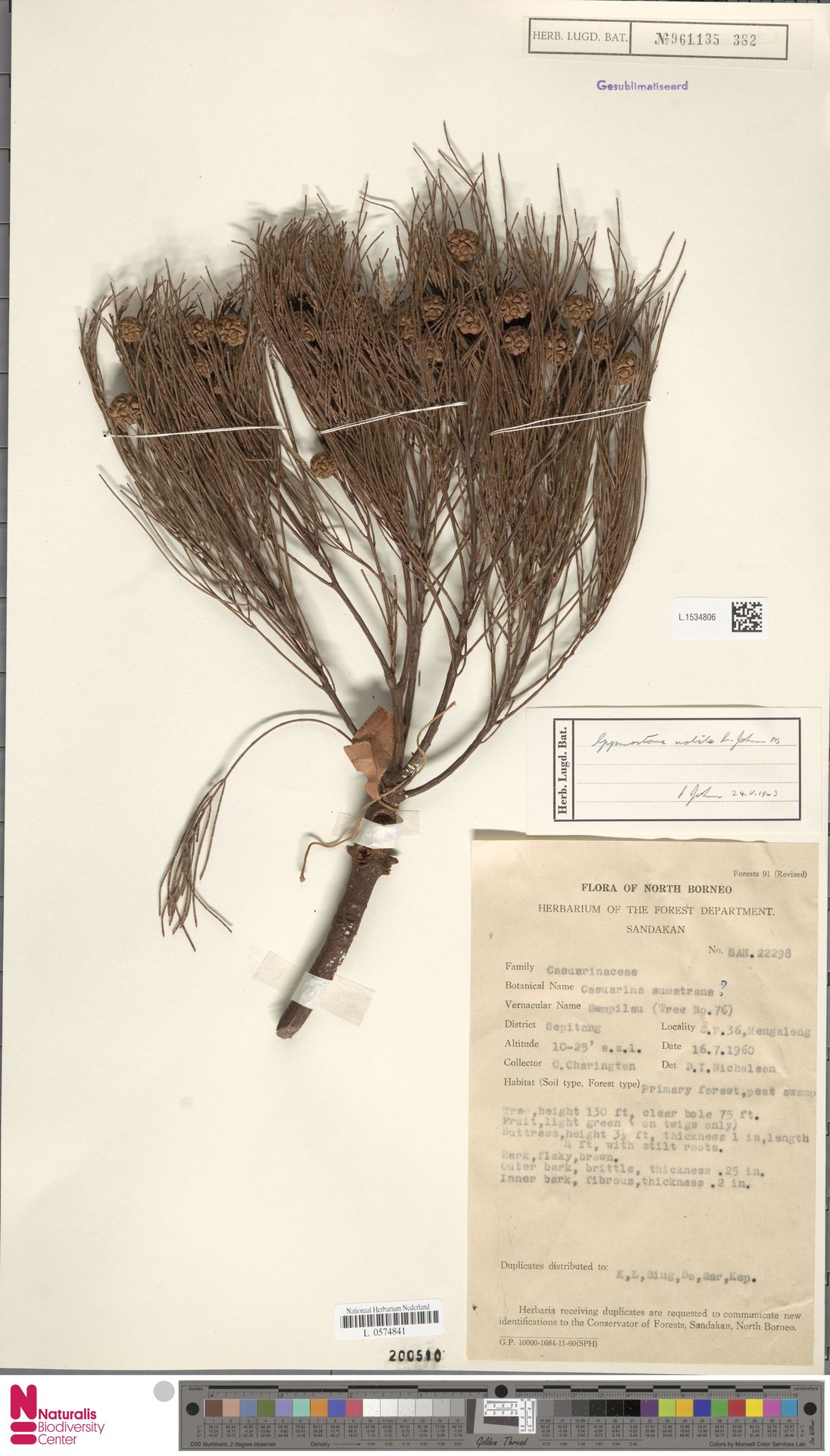 L.1534806 | Gymnostoma nobile (Whitmore) L.A.S.Johnson
