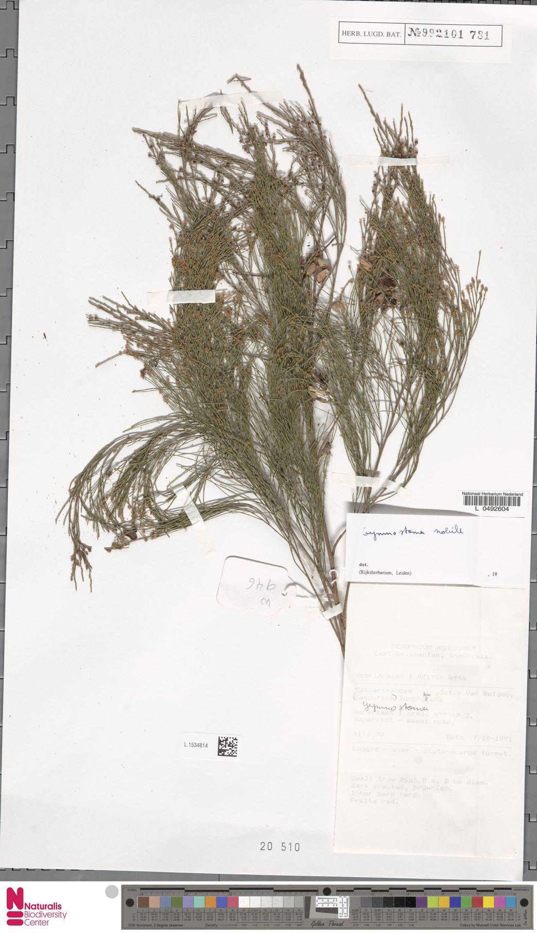 L.1534814 | Gymnostoma nobile (Whitmore) L.A.S.Johnson