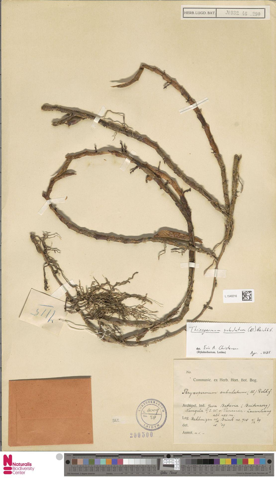 L.1540216 | Thrixspermum subulatum (Blume) Rchb.f.