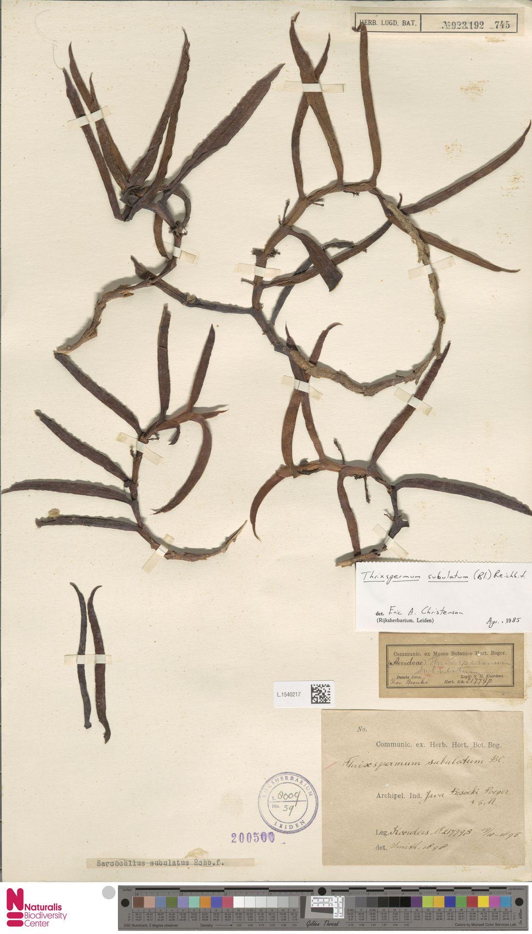 L.1540217 | Thrixspermum subulatum (Blume) Rchb.f.