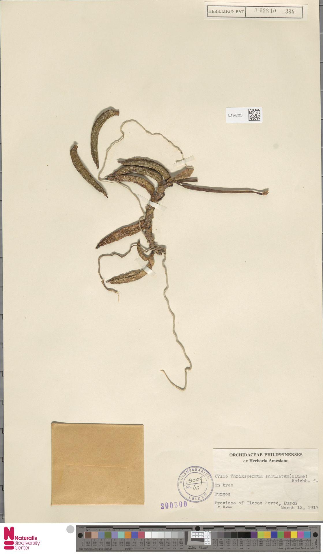 L.1540220 | Thrixspermum subulatum (Blume) Rchb.f.