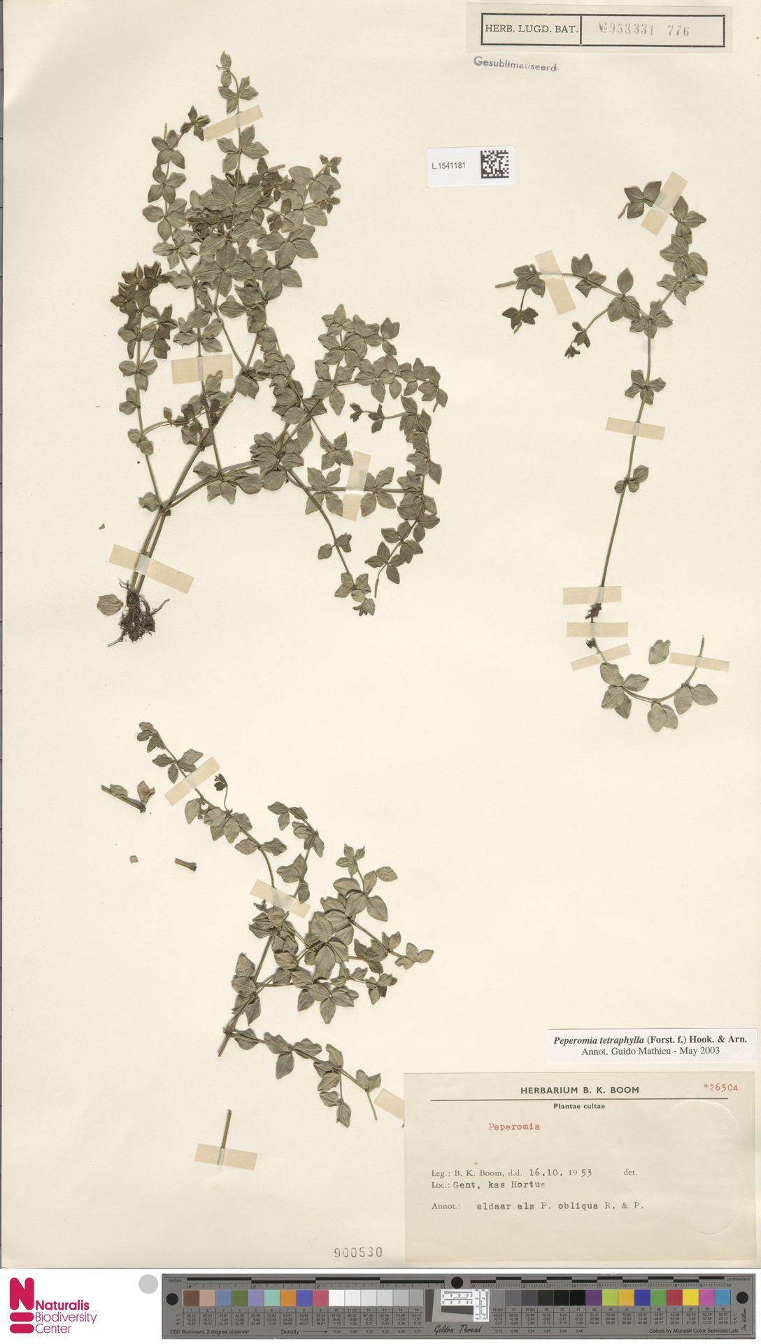 L.1541181 | Peperomia tetraphylla (G.Forst.) Hook. & Arn.