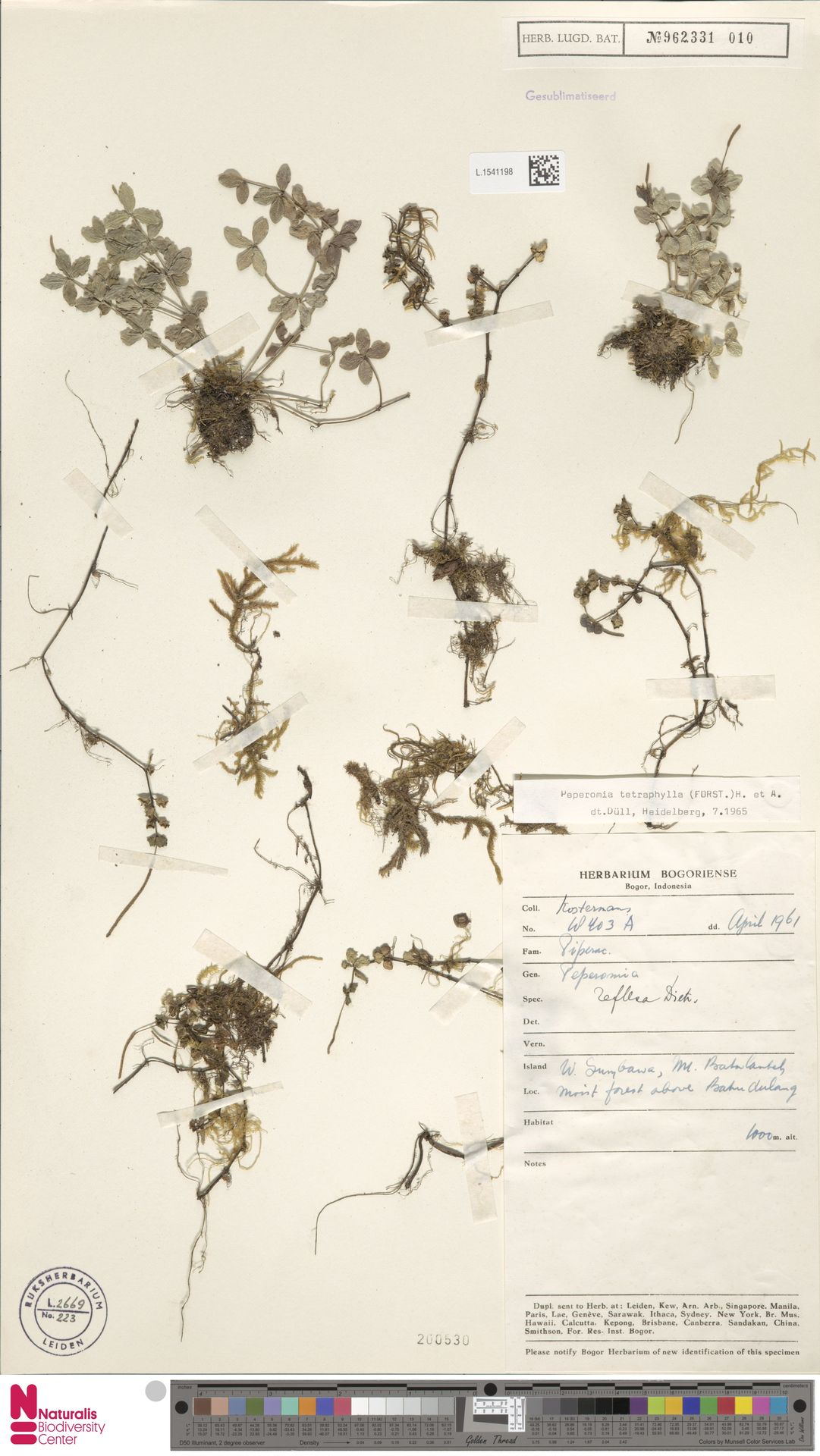 L.1541198 | Peperomia tetraphylla (G.Forst.) Hook. & Arn.