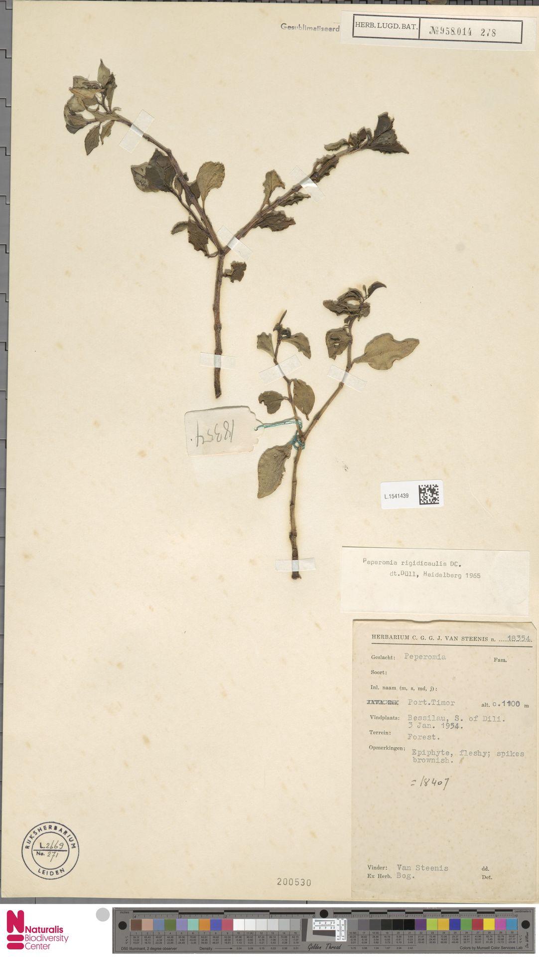 L.1541439   Peperomia rigidicaulis C.DC.
