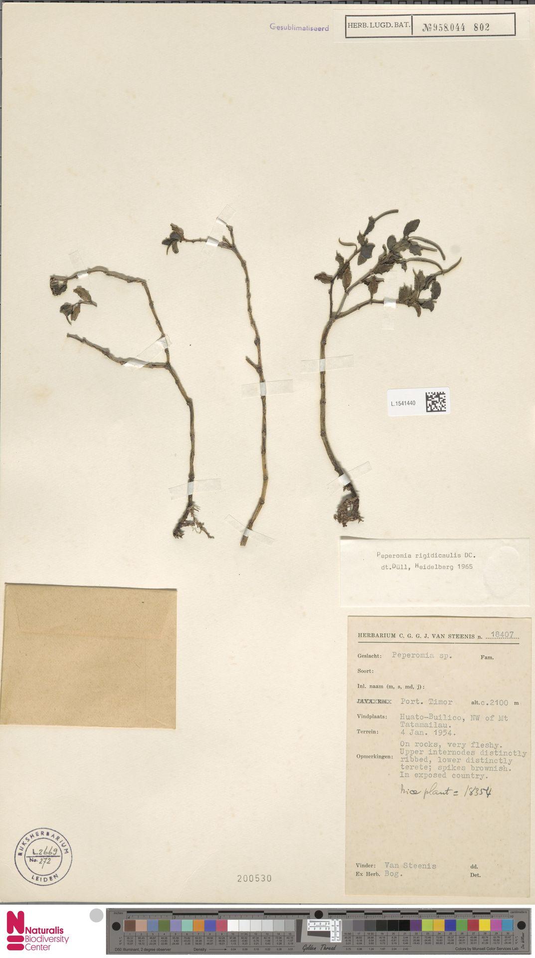 L.1541440 | Peperomia rigidicaulis C.DC.
