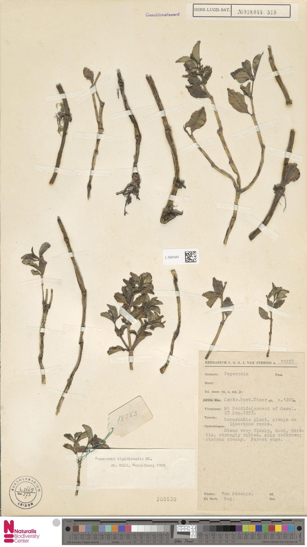 L.1541441 | Peperomia rigidicaulis C.DC.