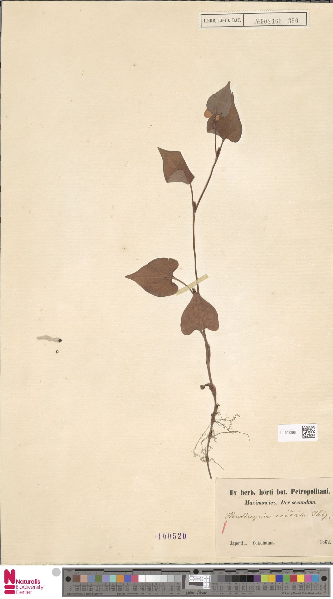 L.1542298 | Houttuynia cordata Thunb.