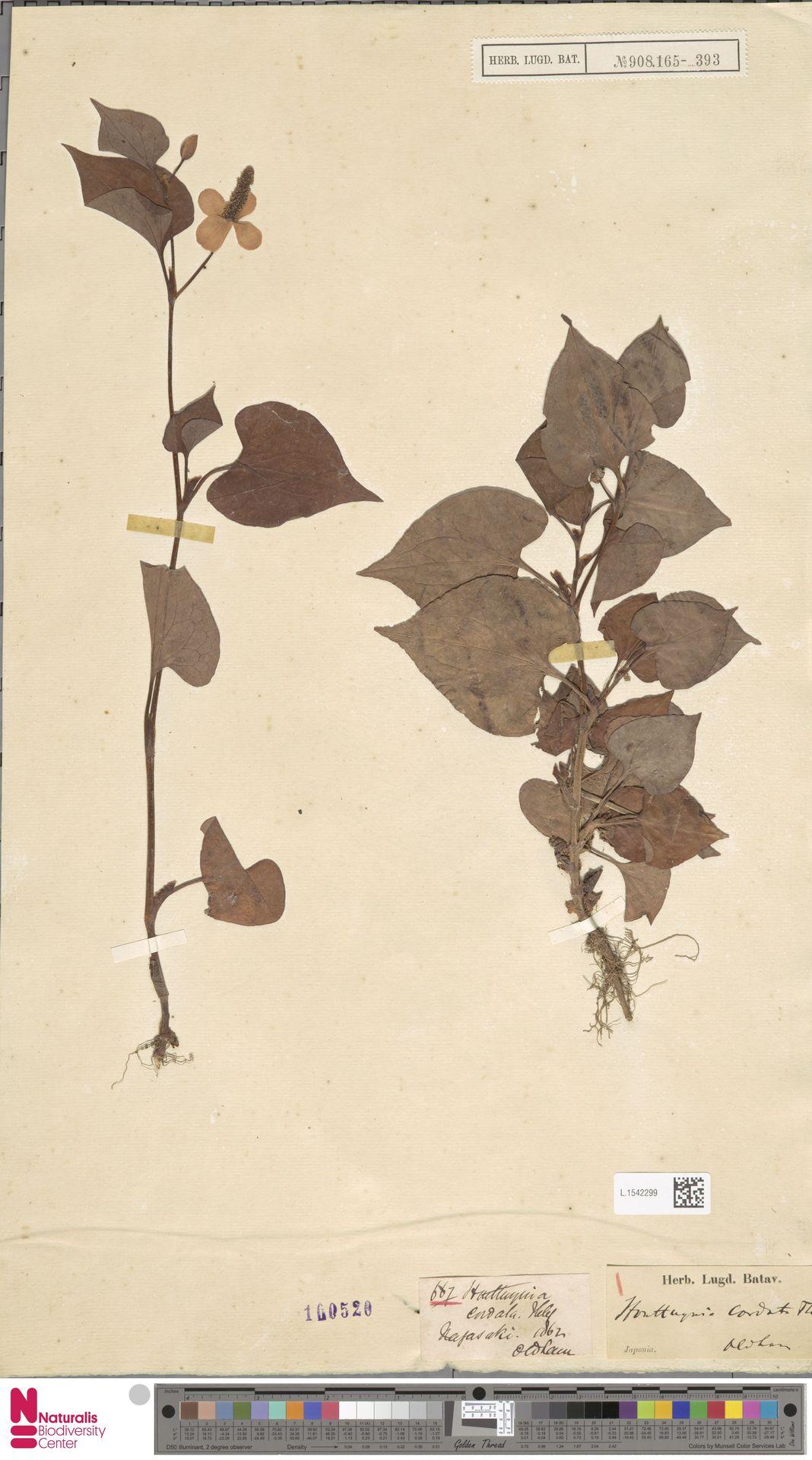 L.1542299 | Houttuynia cordata Thunb.