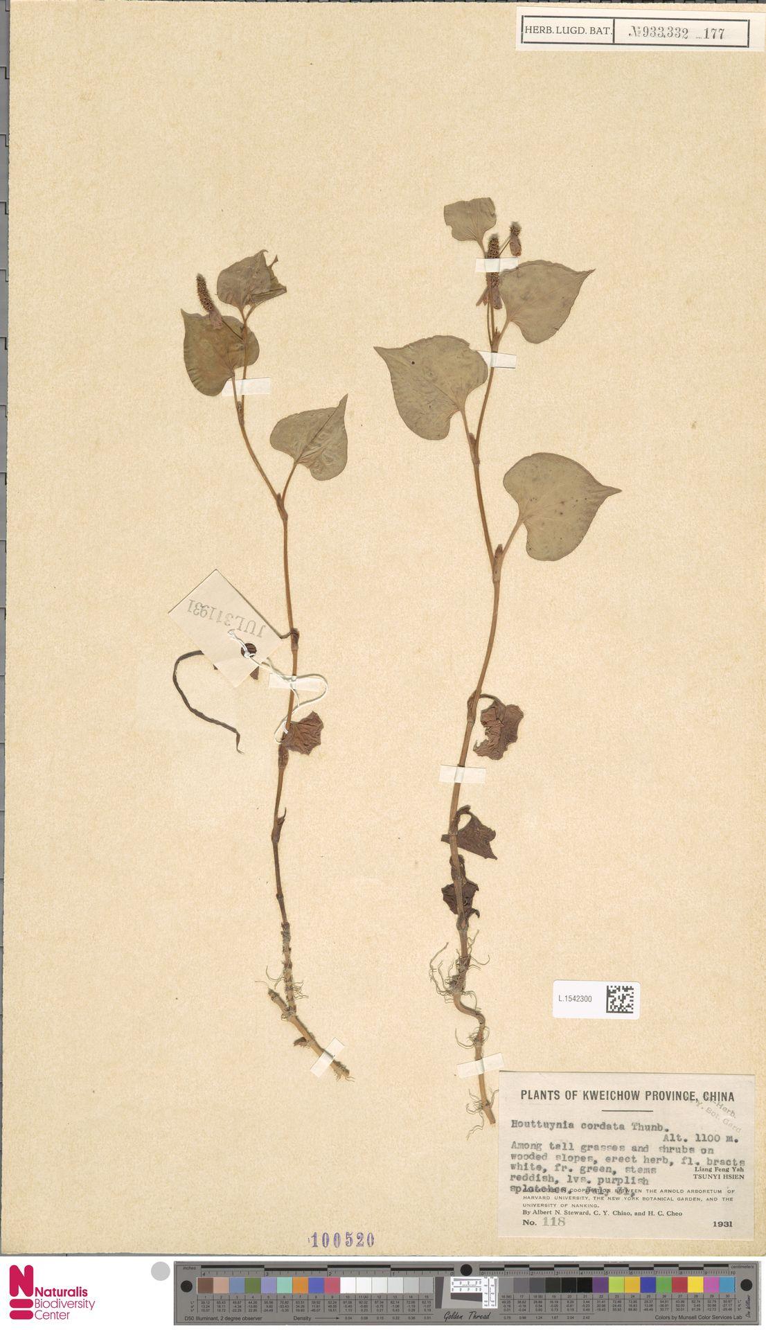 L.1542300 | Houttuynia cordata Thunb.