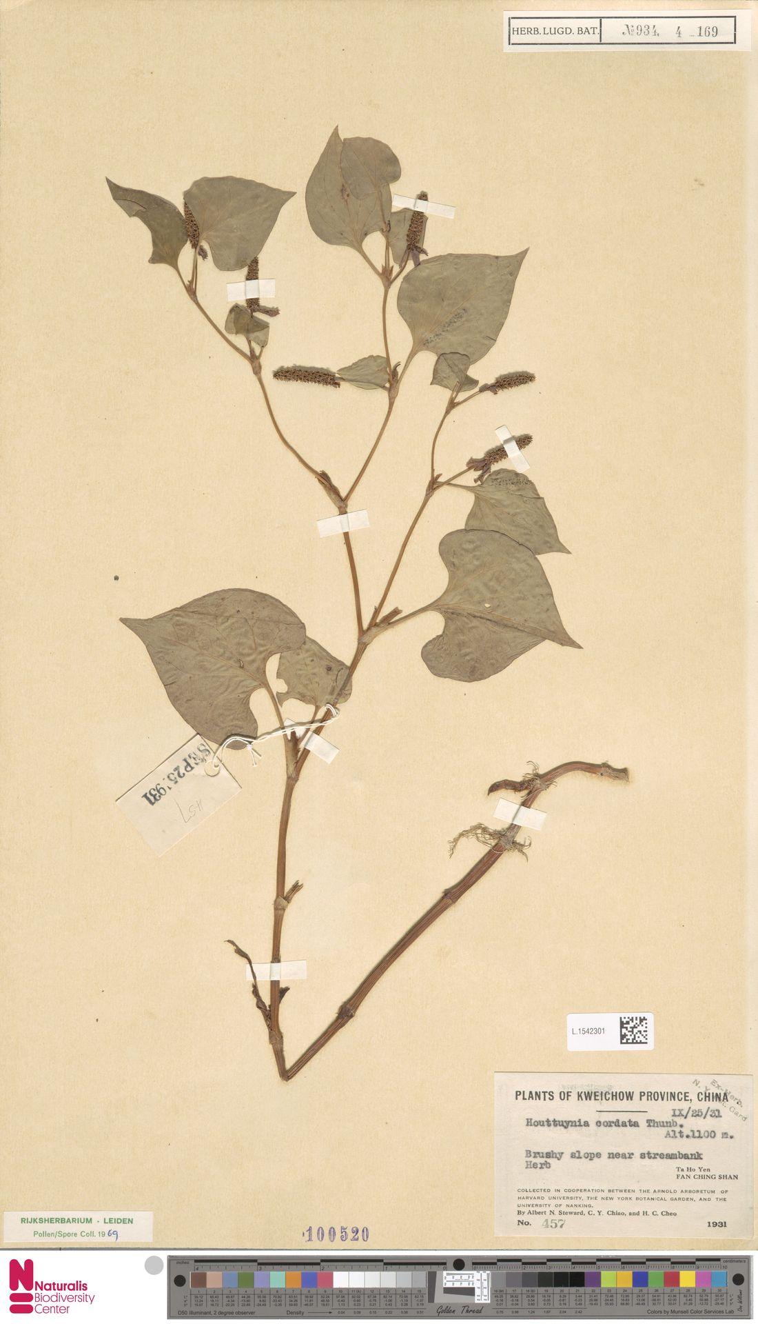 L.1542301   Houttuynia cordata Thunb.