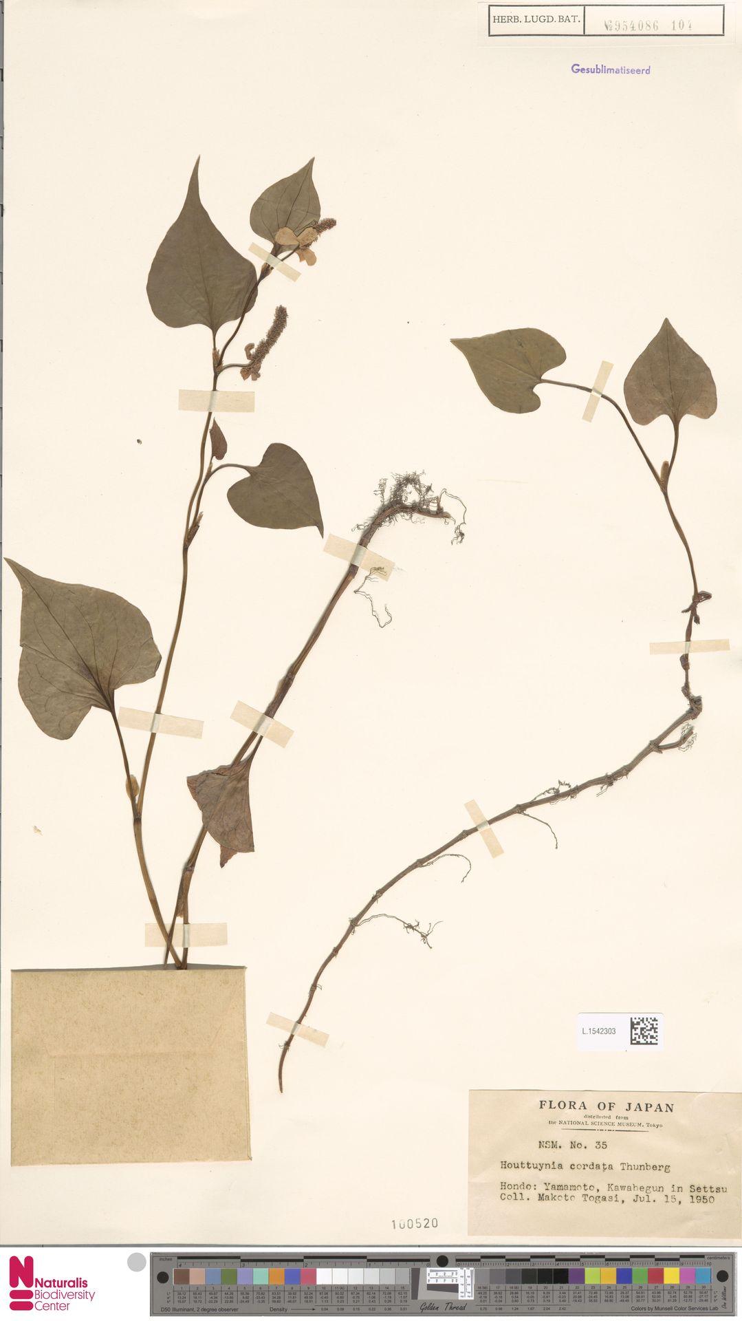 L.1542303 | Houttuynia cordata Thunb.