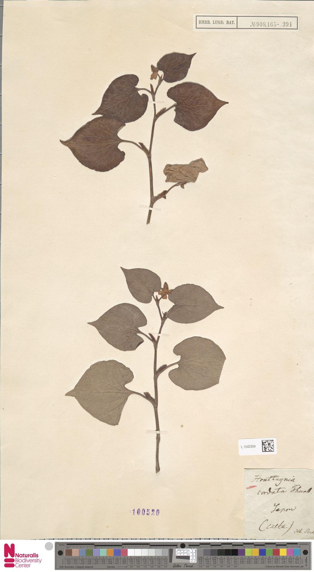 L.1542304 | Houttuynia cordata Thunb.