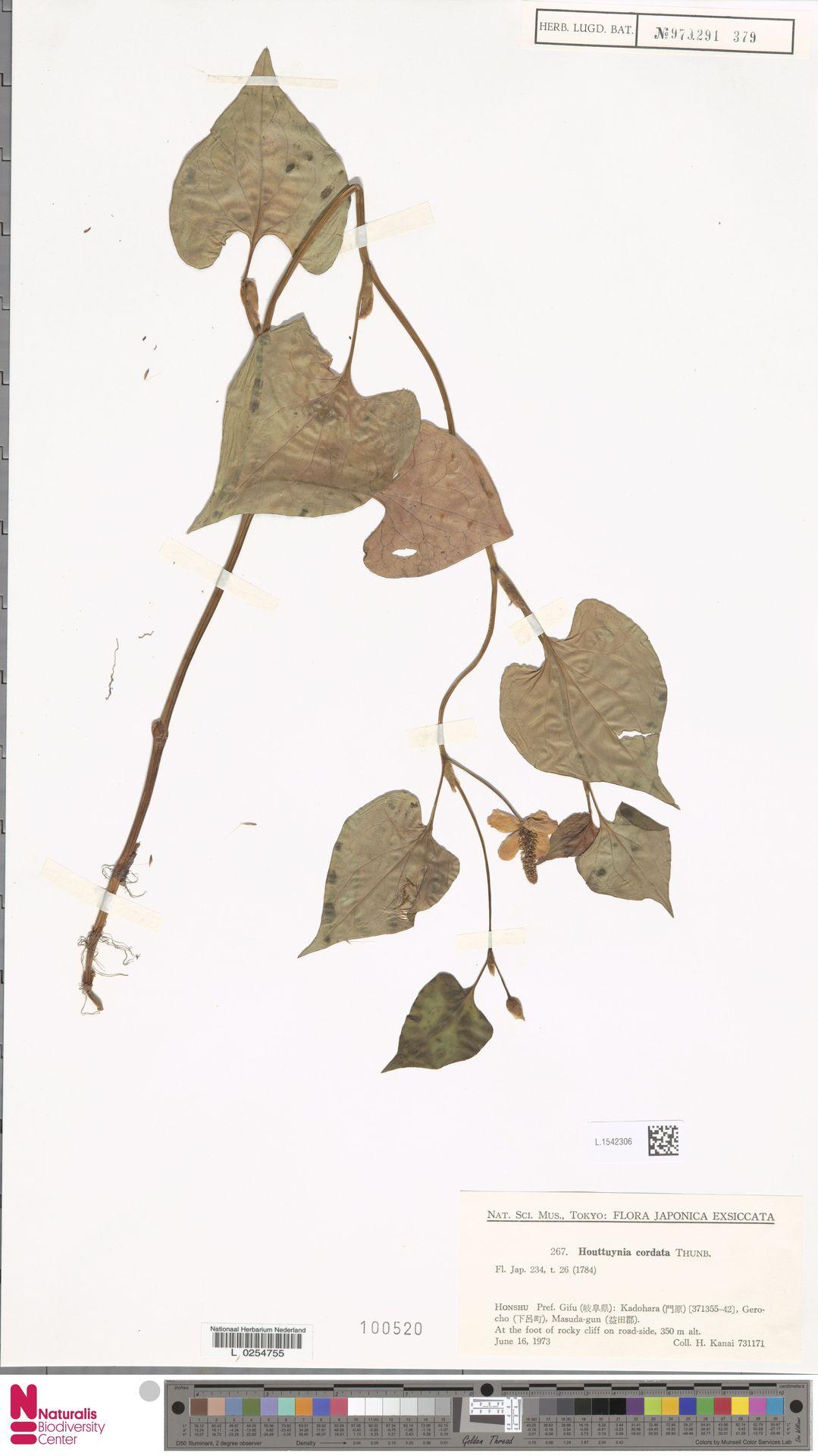 L.1542306 | Houttuynia cordata Thunb.