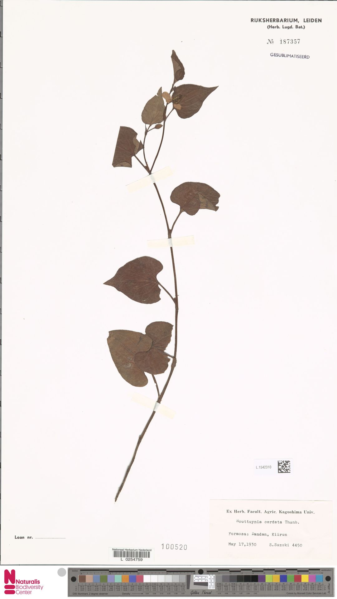 L.1542310 | Houttuynia cordata Thunb.