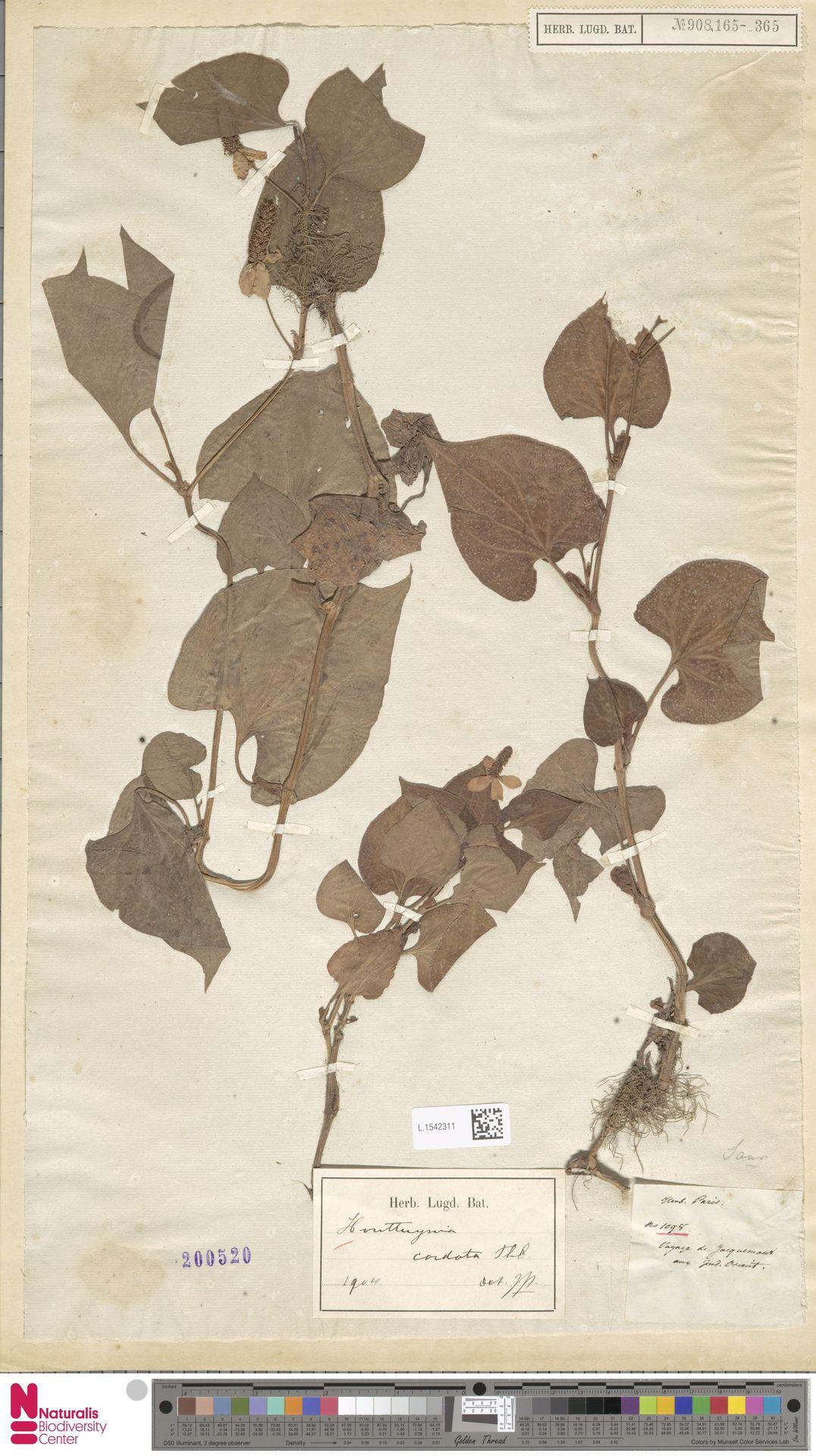 L.1542311 | Houttuynia cordata Thunb.