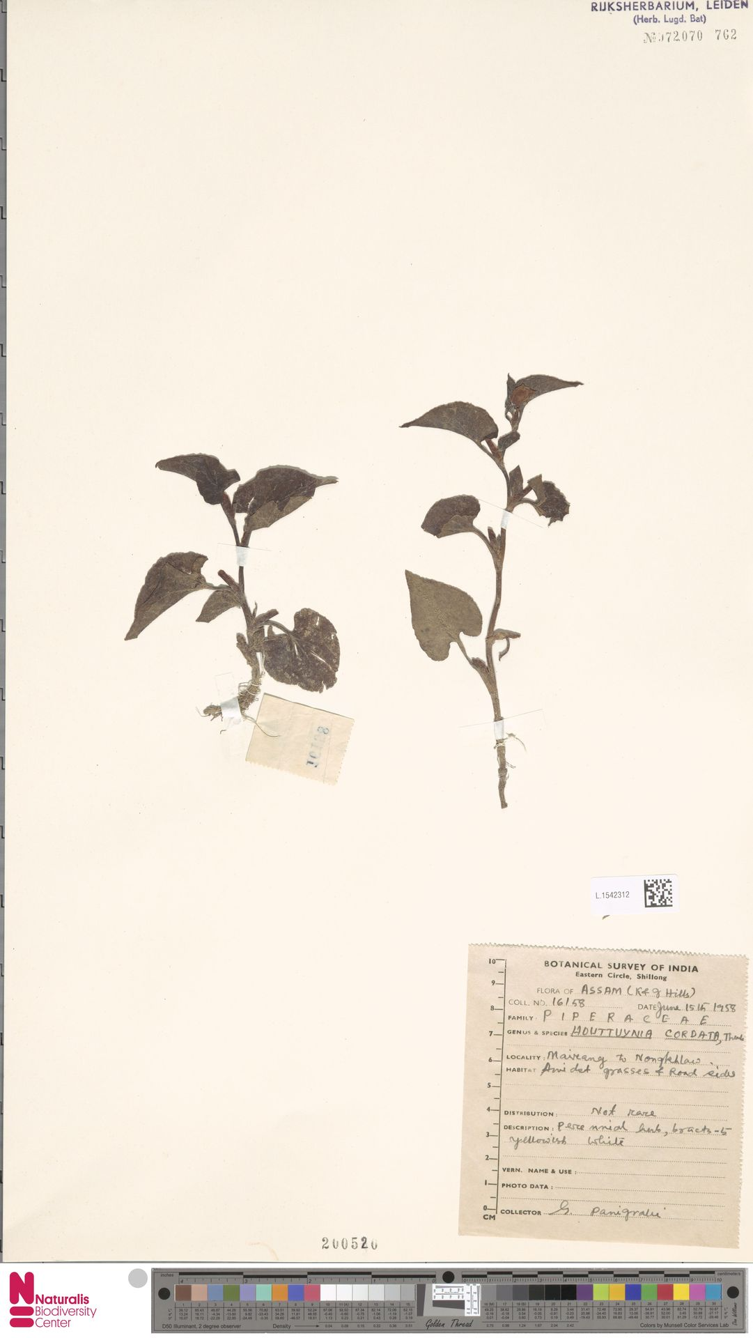 L.1542312 | Houttuynia cordata Thunb.