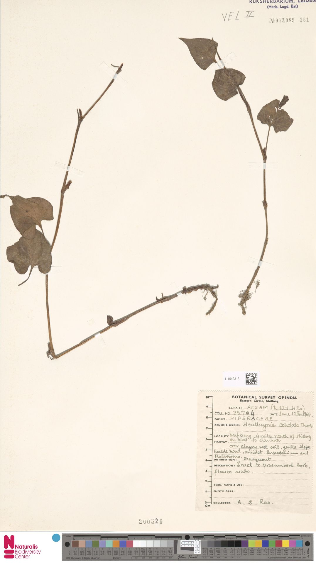 L.1542313 | Houttuynia cordata Thunb.