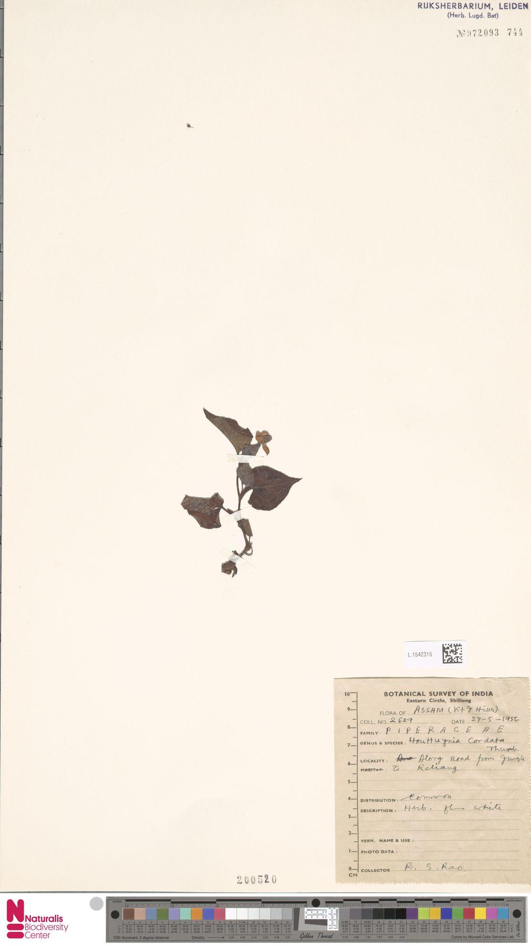 L.1542315   Houttuynia cordata Thunb.