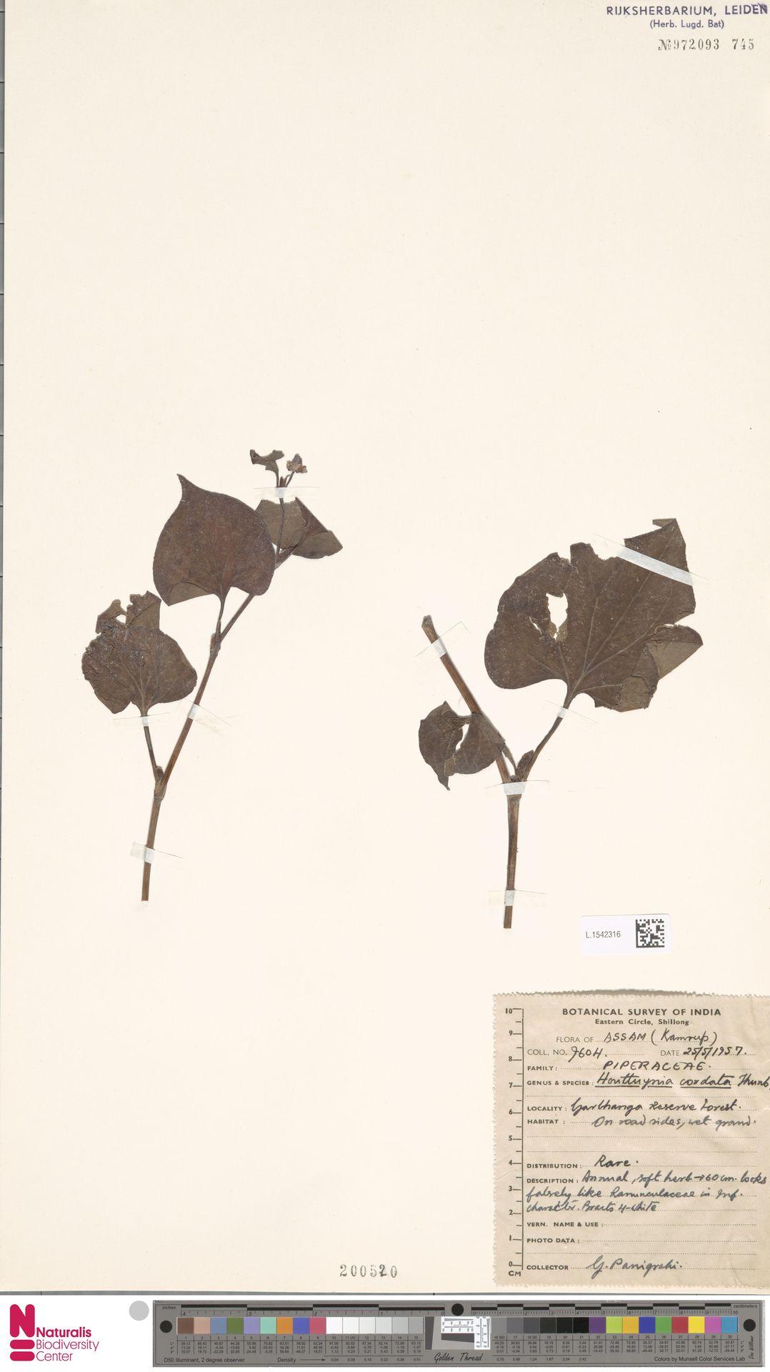 L.1542316   Houttuynia cordata Thunb.