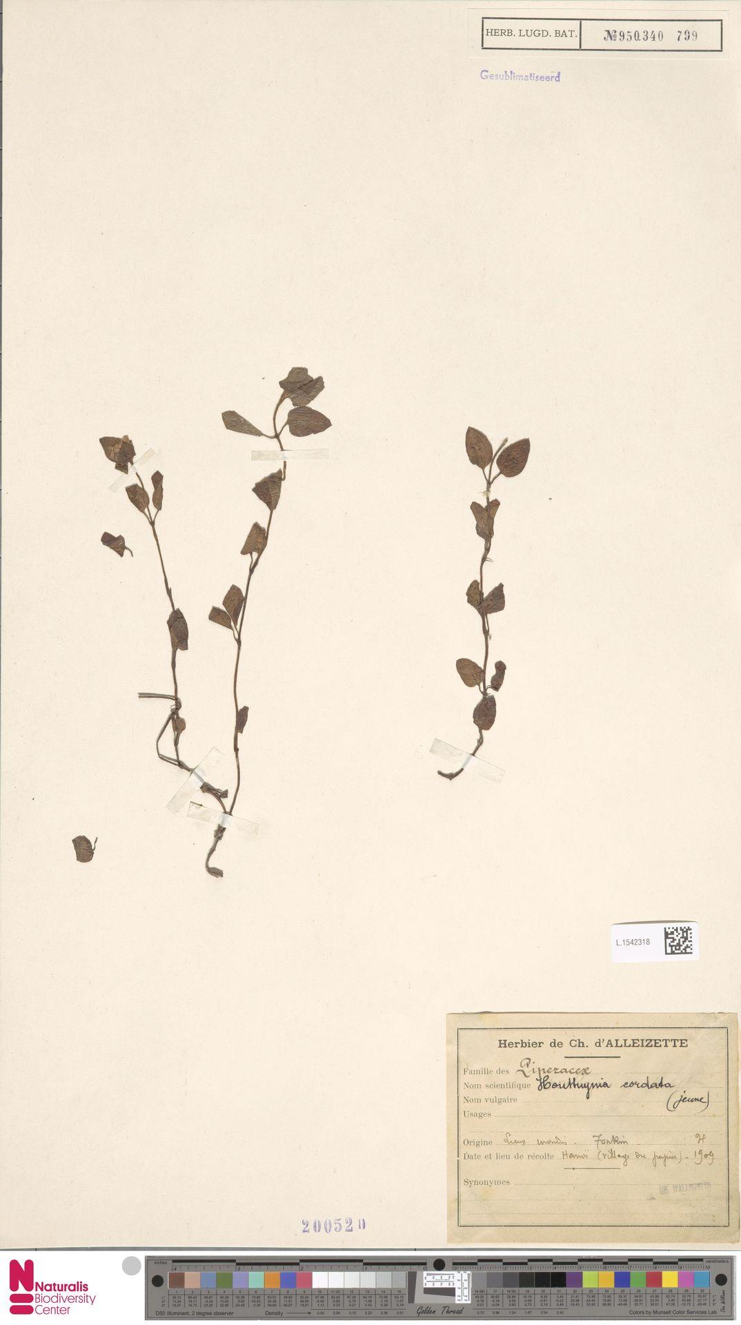 L.1542318 | Houttuynia cordata Thunb.